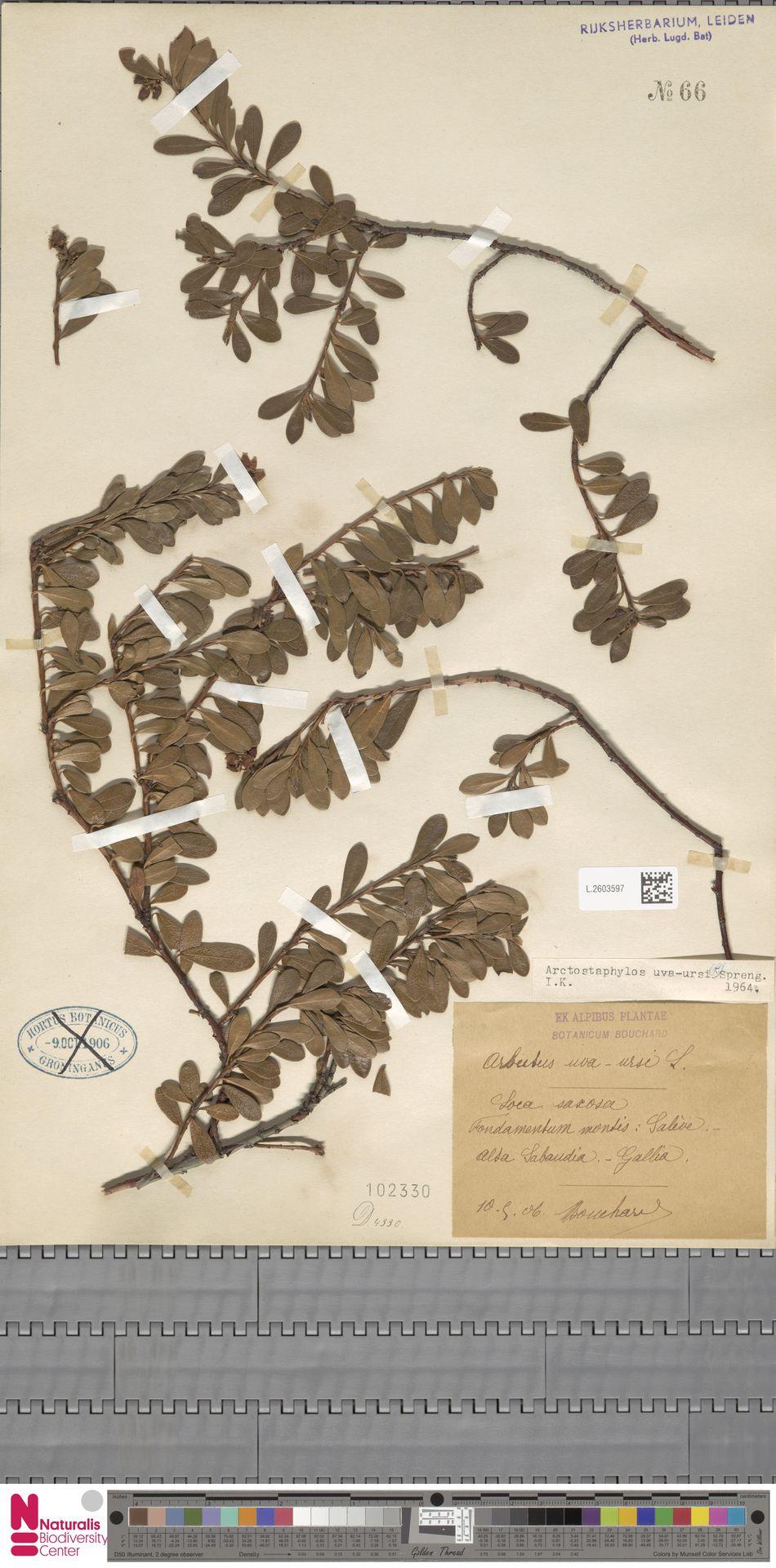 L.2603597 | Arctostaphylos uva-ursi (L.) Spreng.