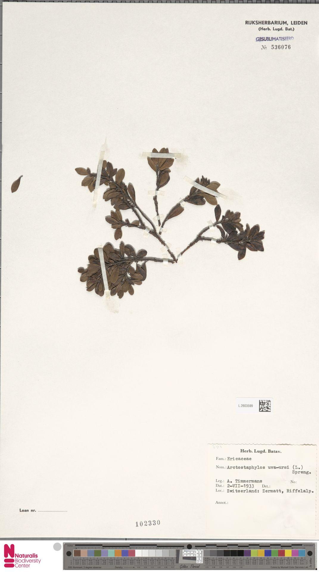 L.2603599 | Arctostaphylos uva-ursi (L.) Spreng.