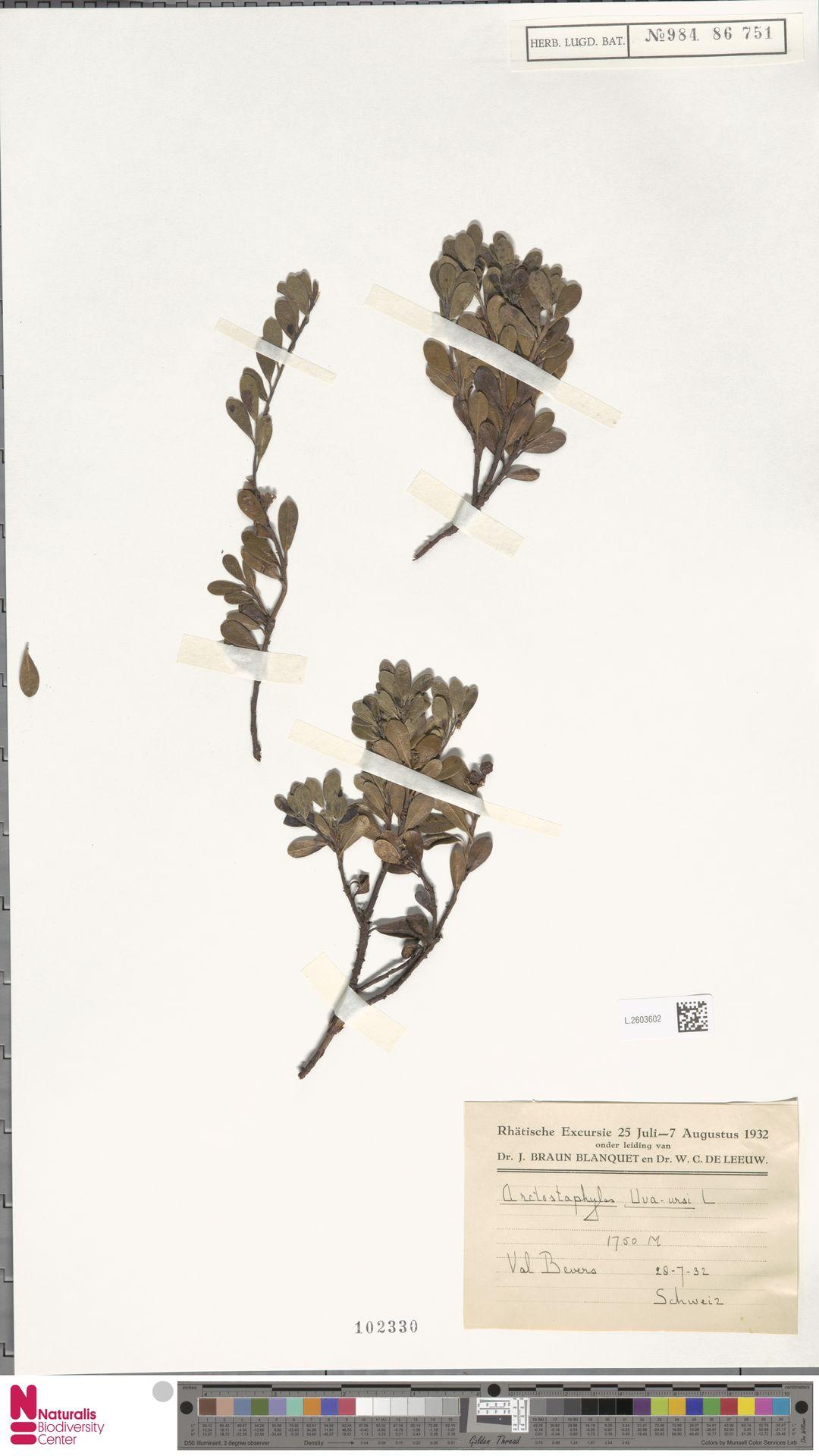 L.2603602 | Arctostaphylos uva-ursi (L.) Spreng.
