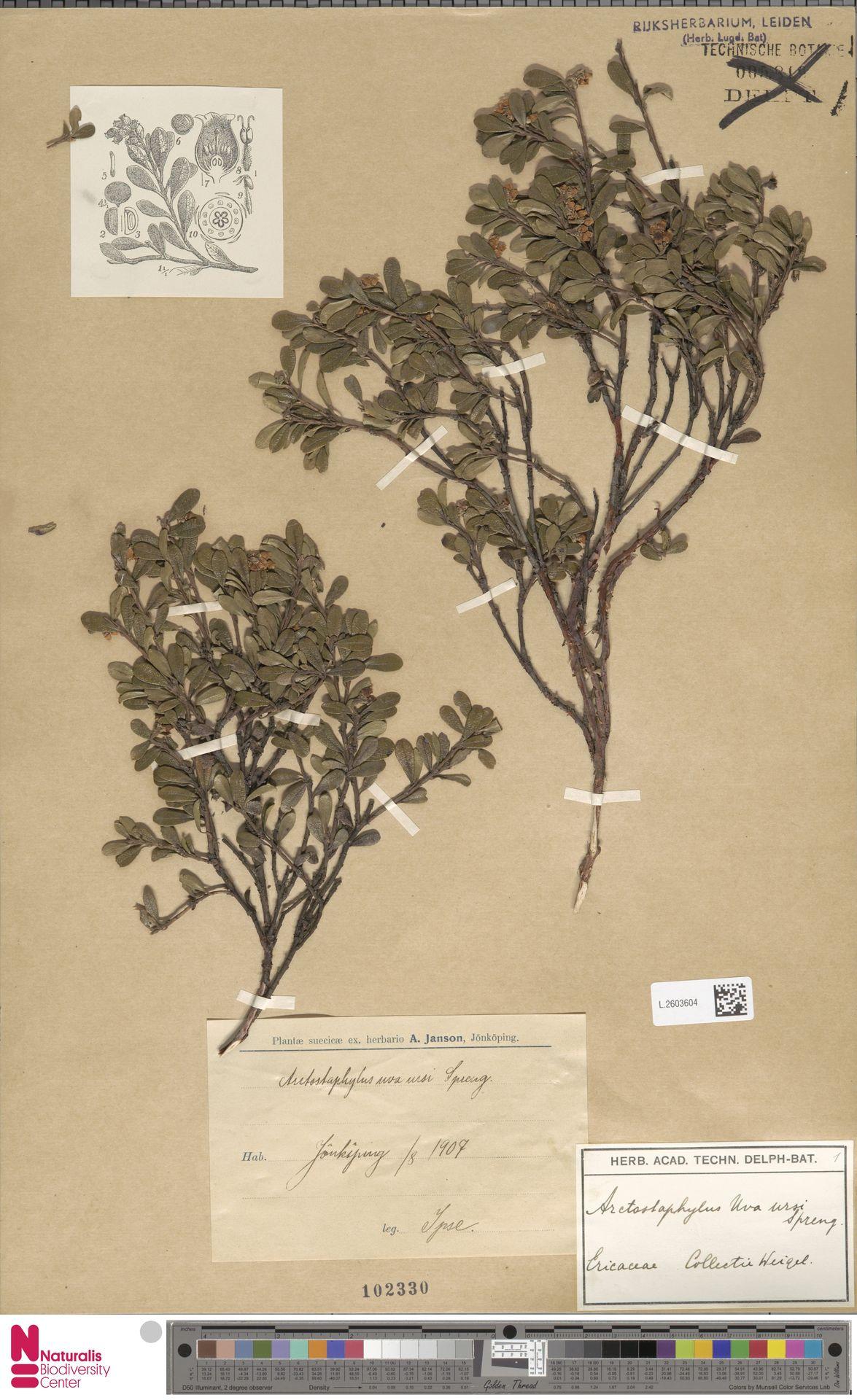 L.2603604 | Arctostaphylos uva-ursi (L.) Spreng.
