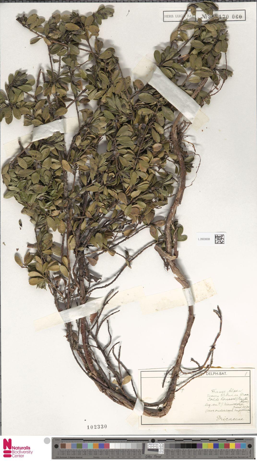 L.2603608   Arctostaphylos uva-ursi (L.) Spreng.