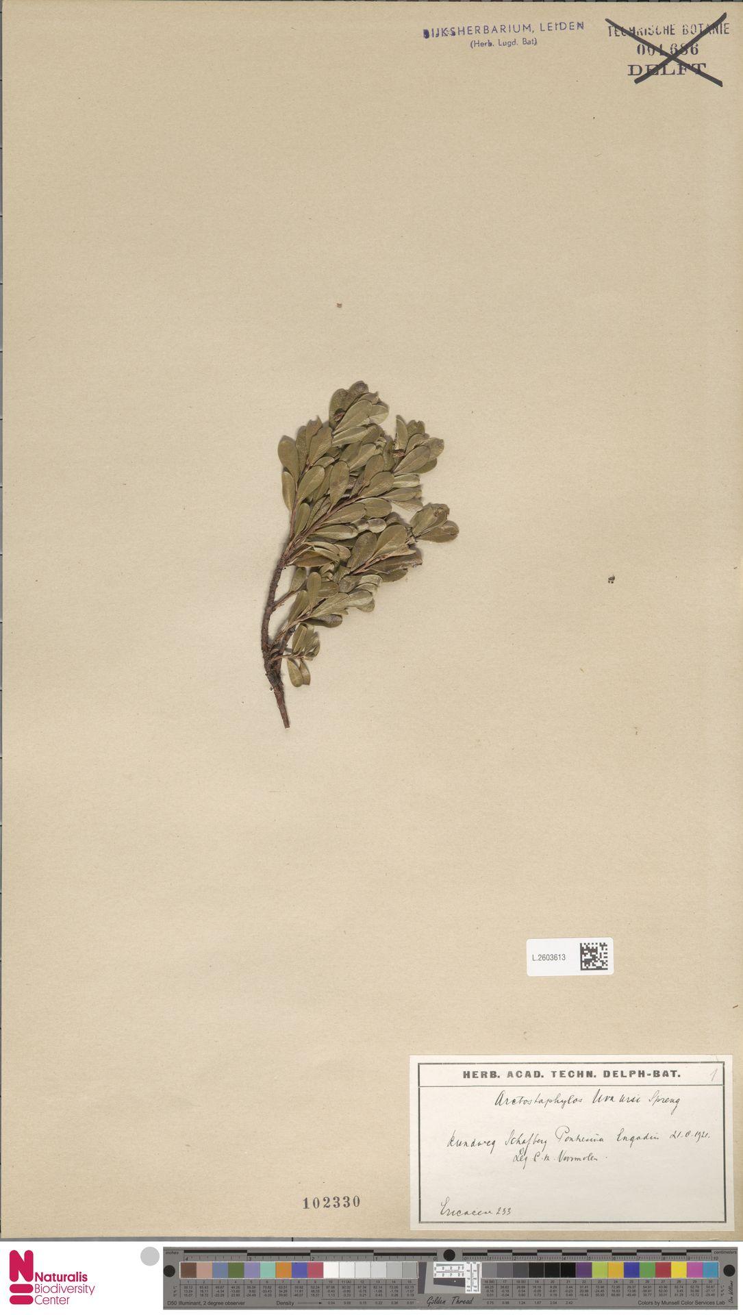 L.2603613   Arctostaphylos uva-ursi (L.) Spreng.