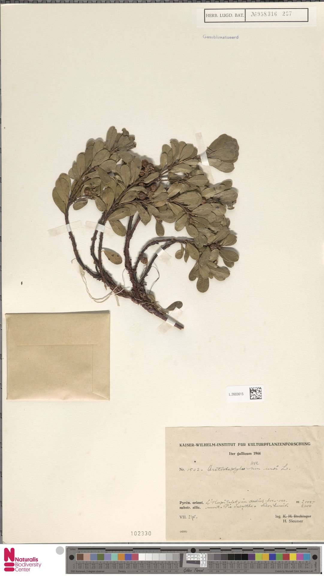 L.2603615 | Arctostaphylos uva-ursi (L.) Spreng.