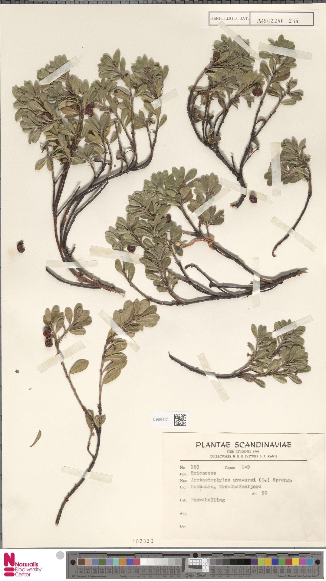 L.2603617 | Arctostaphylos uva-ursi (L.) Spreng.