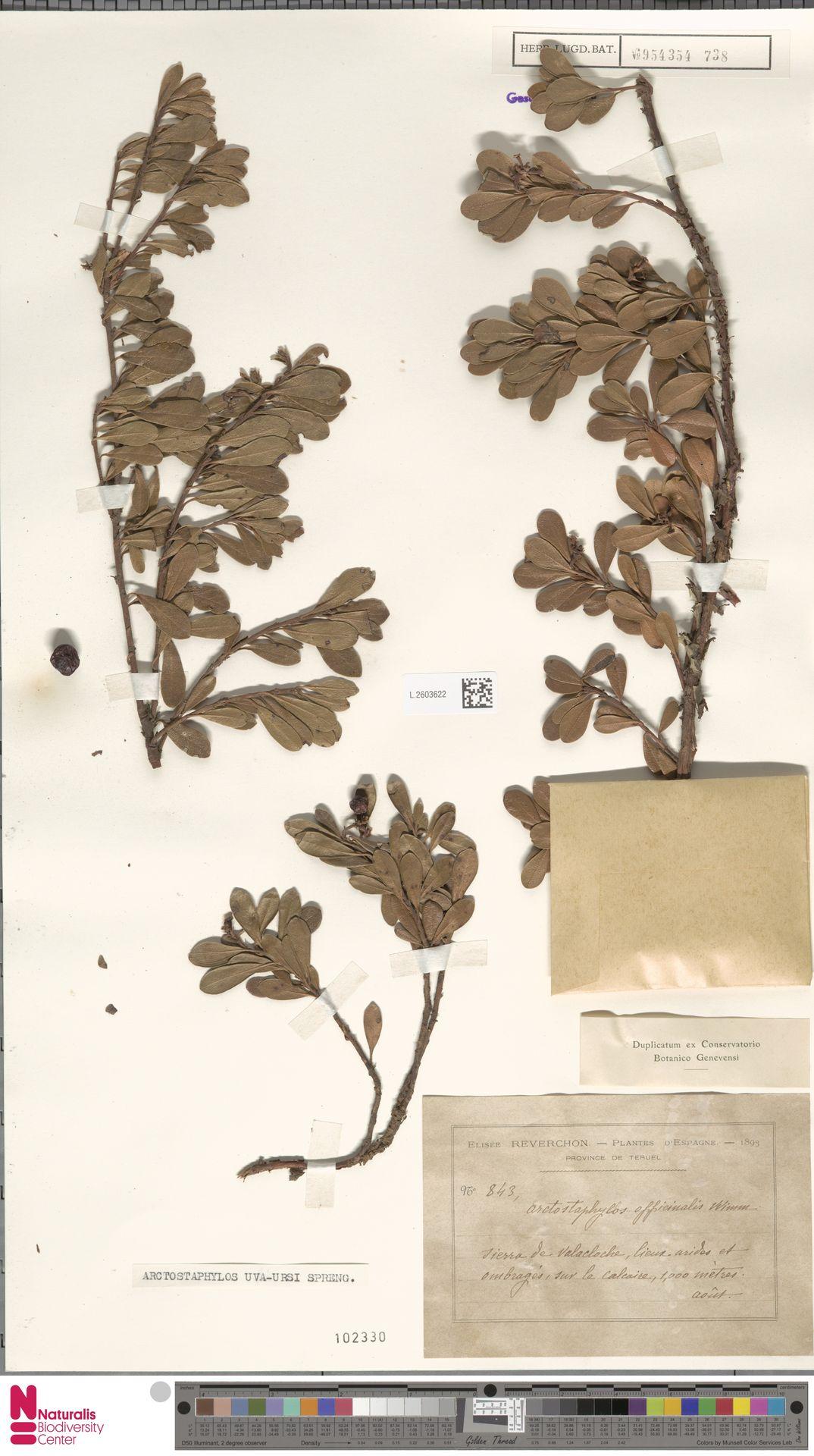 L.2603622 | Arctostaphylos uva-ursi (L.) Spreng.