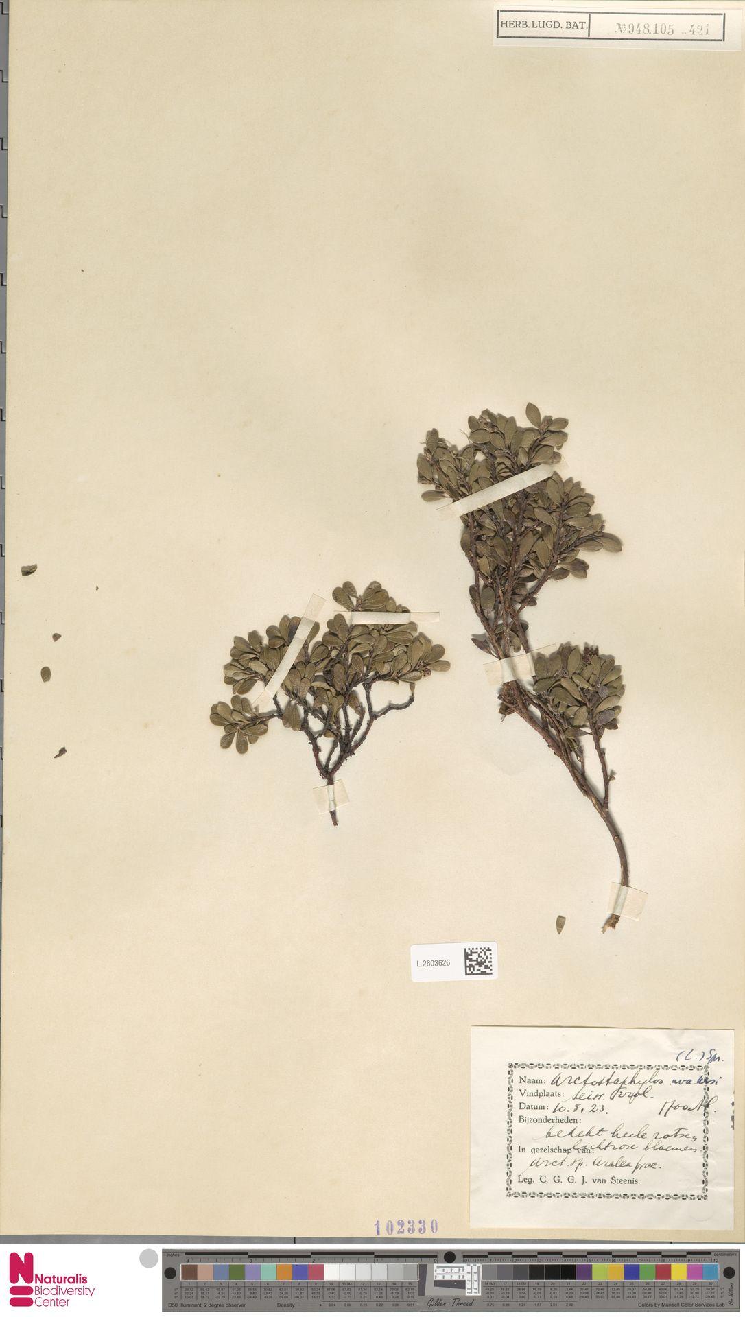 L.2603626 | Arctostaphylos uva-ursi (L.) Spreng.