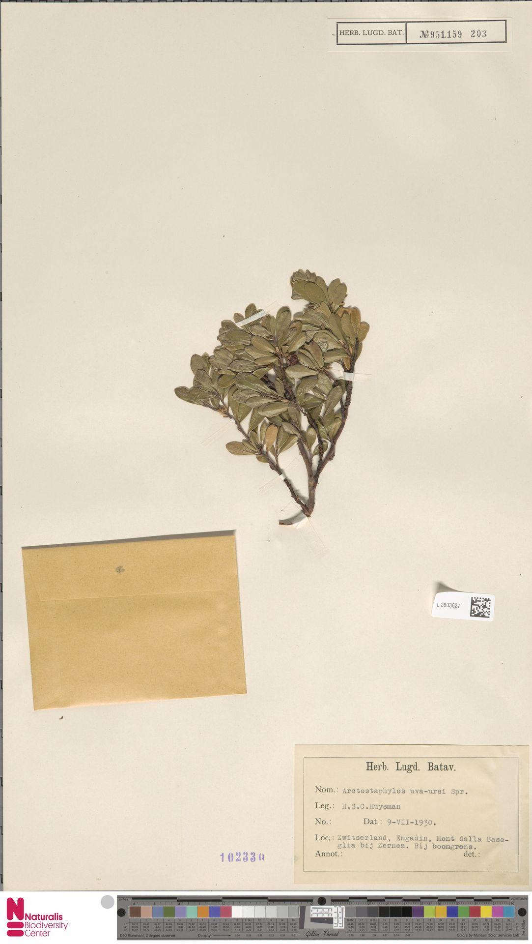 L.2603627   Arctostaphylos uva-ursi (L.) Spreng.