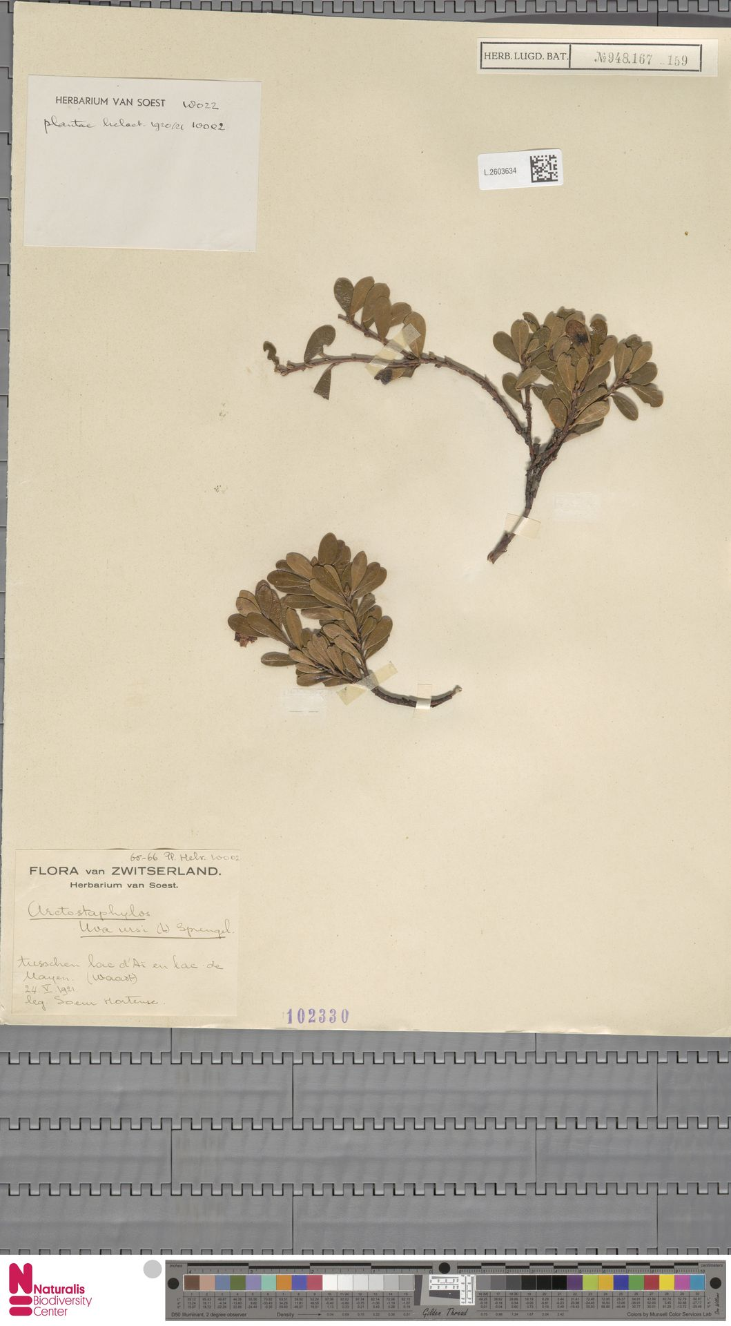 L.2603634   Arctostaphylos uva-ursi (L.) Spreng.