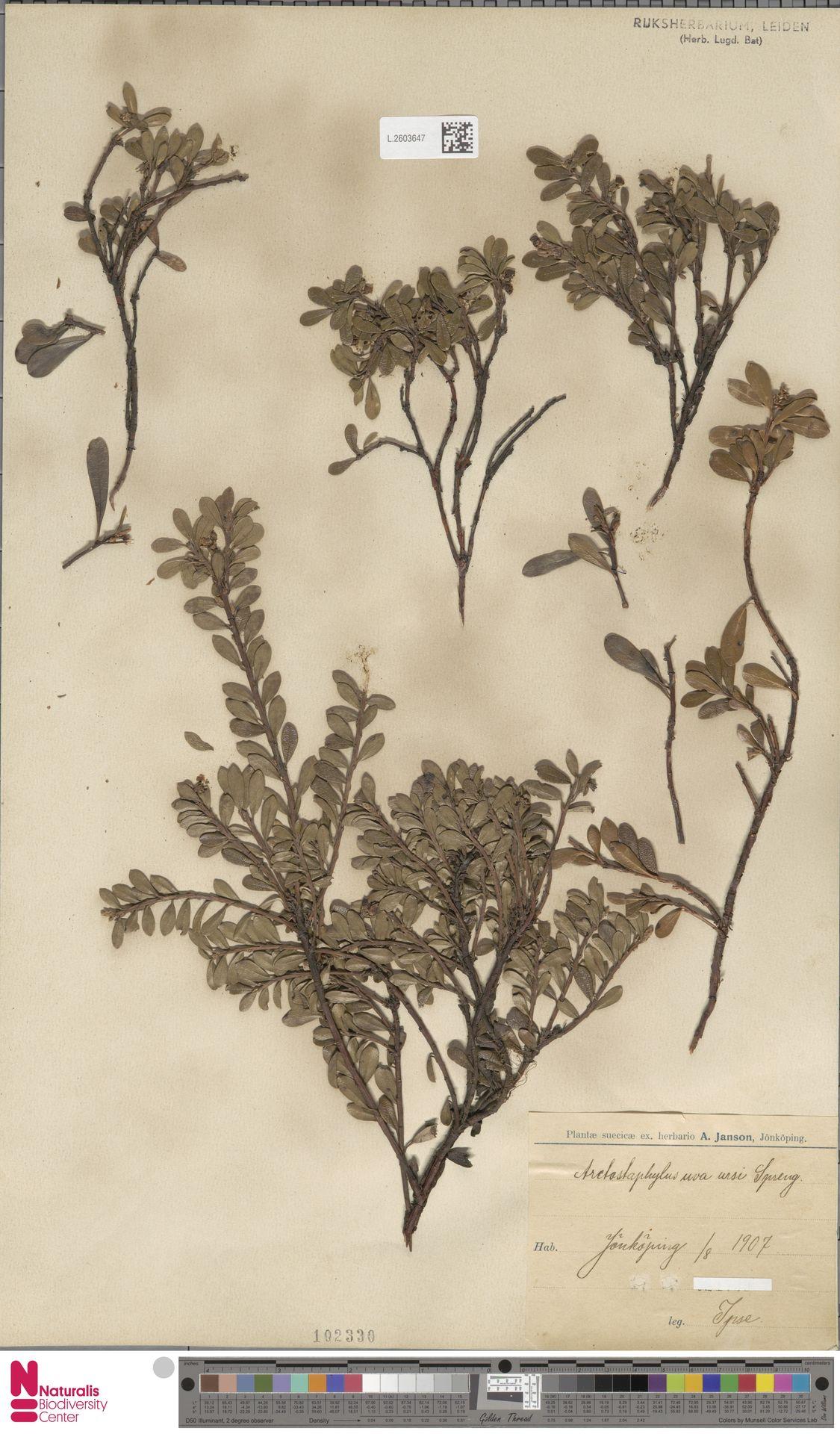 L.2603647 | Arctostaphylos uva-ursi (L.) Spreng.