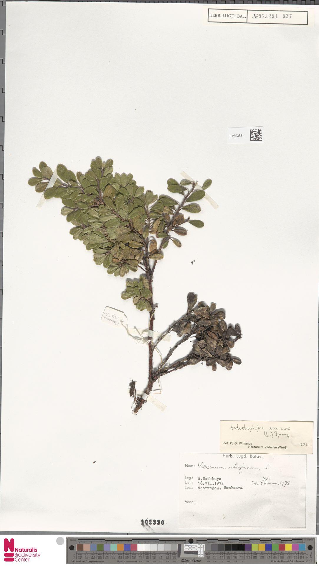 L.2603651 | Arctostaphylos uva-ursi (L.) Spreng.