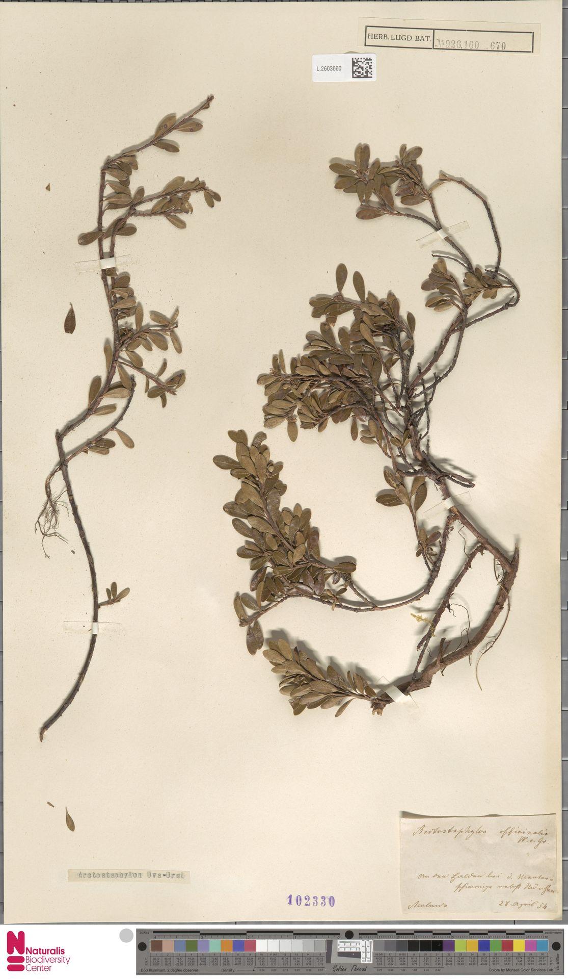 L.2603660   Arctostaphylos uva-ursi (L.) Spreng.