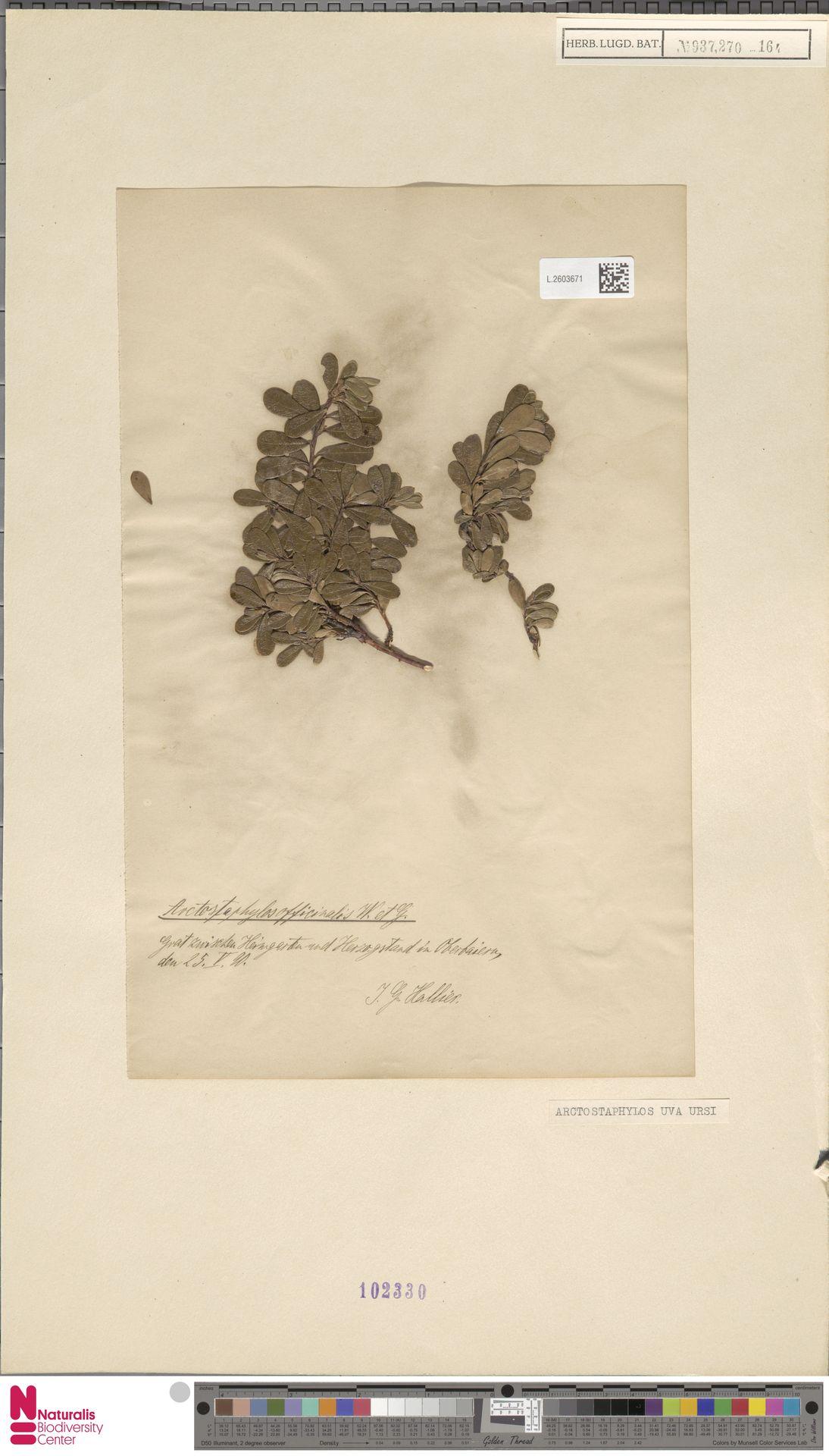 L.2603671   Arctostaphylos uva-ursi (L.) Spreng.