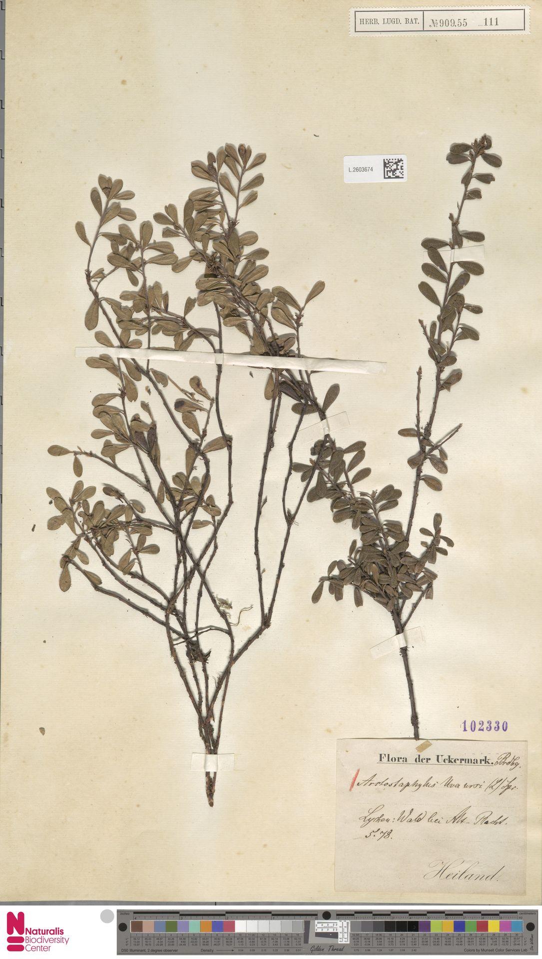 L.2603674 | Arctostaphylos uva-ursi (L.) Spreng.
