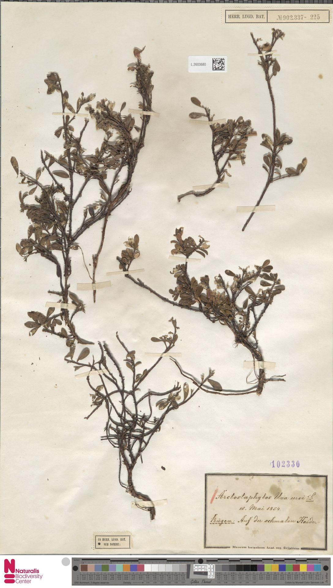 L.2603680 | Arctostaphylos uva-ursi (L.) Spreng.