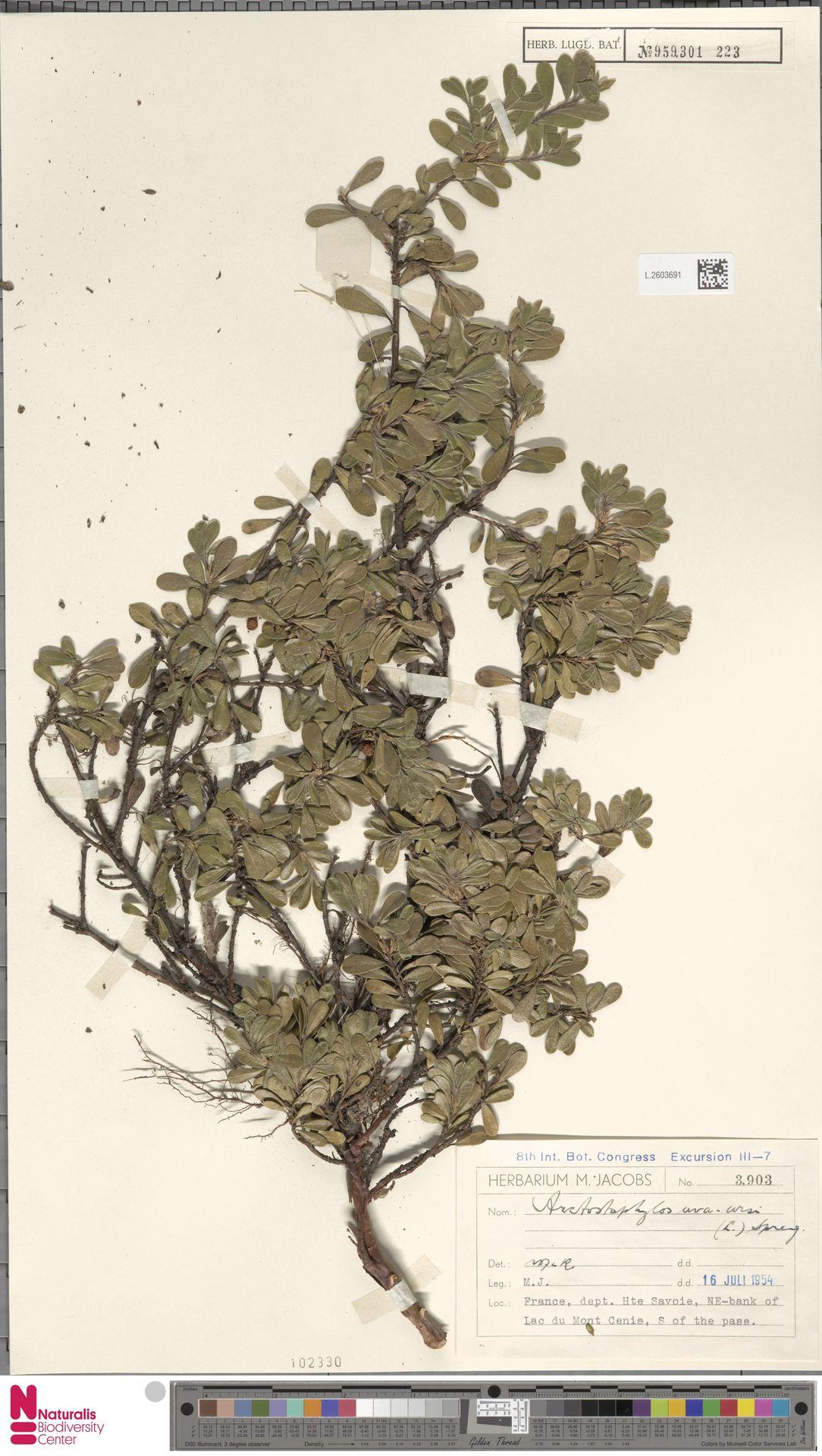 L.2603691 | Arctostaphylos uva-ursi (L.) Spreng.