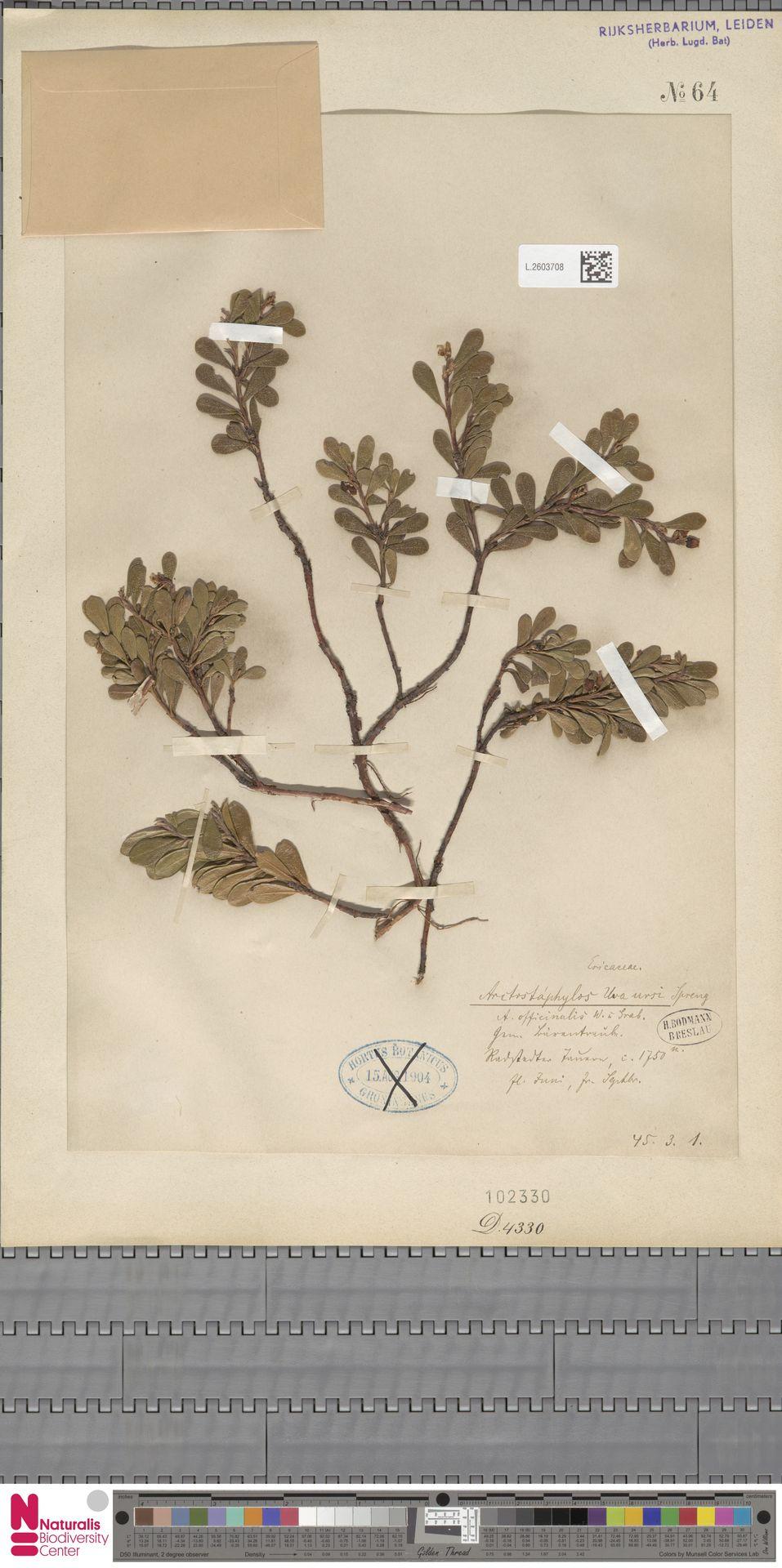 L.2603708 | Arctostaphylos uva-ursi (L.) Spreng.
