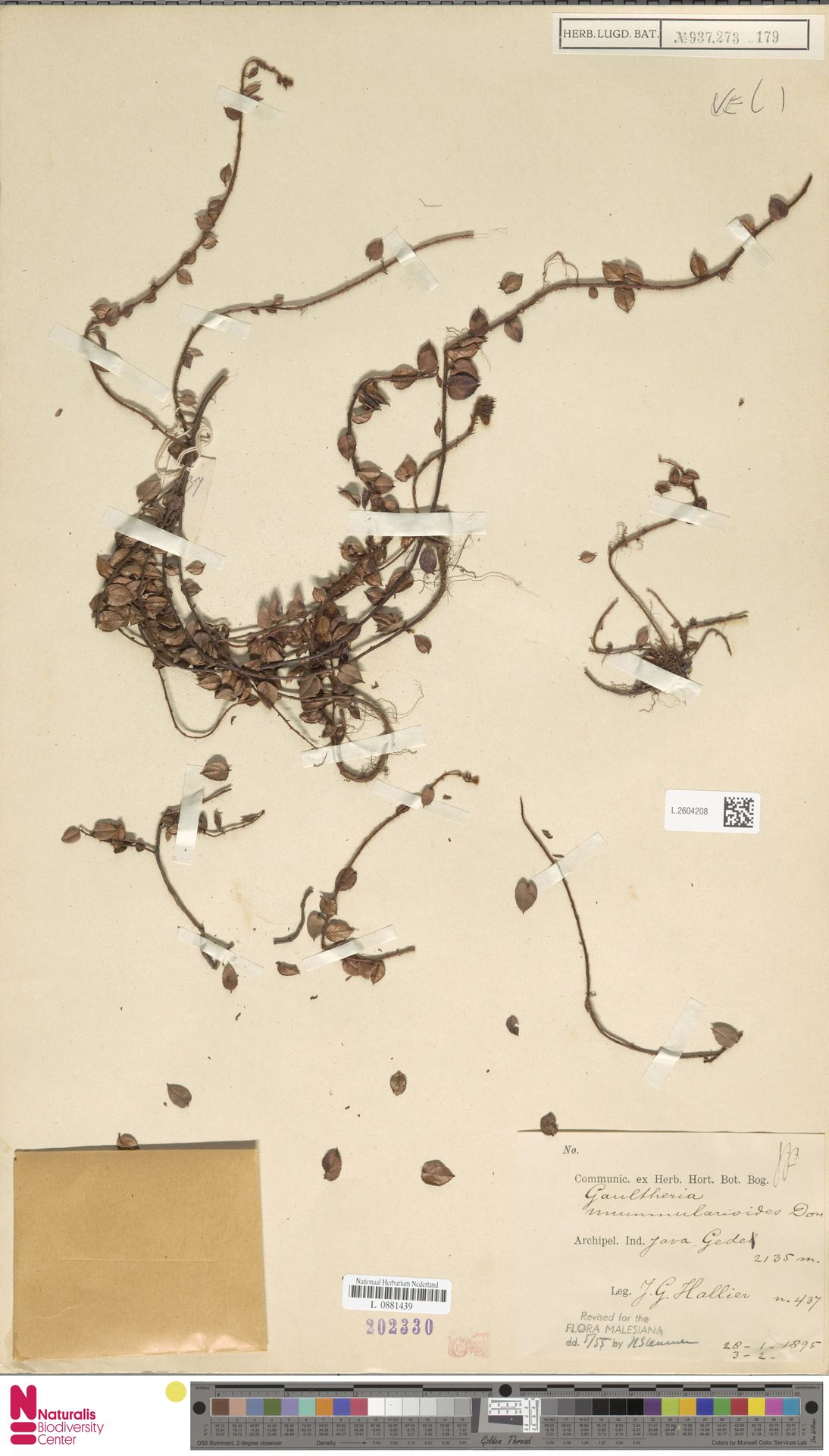 L.2604208 | Gaultheria nummularioides G.Don