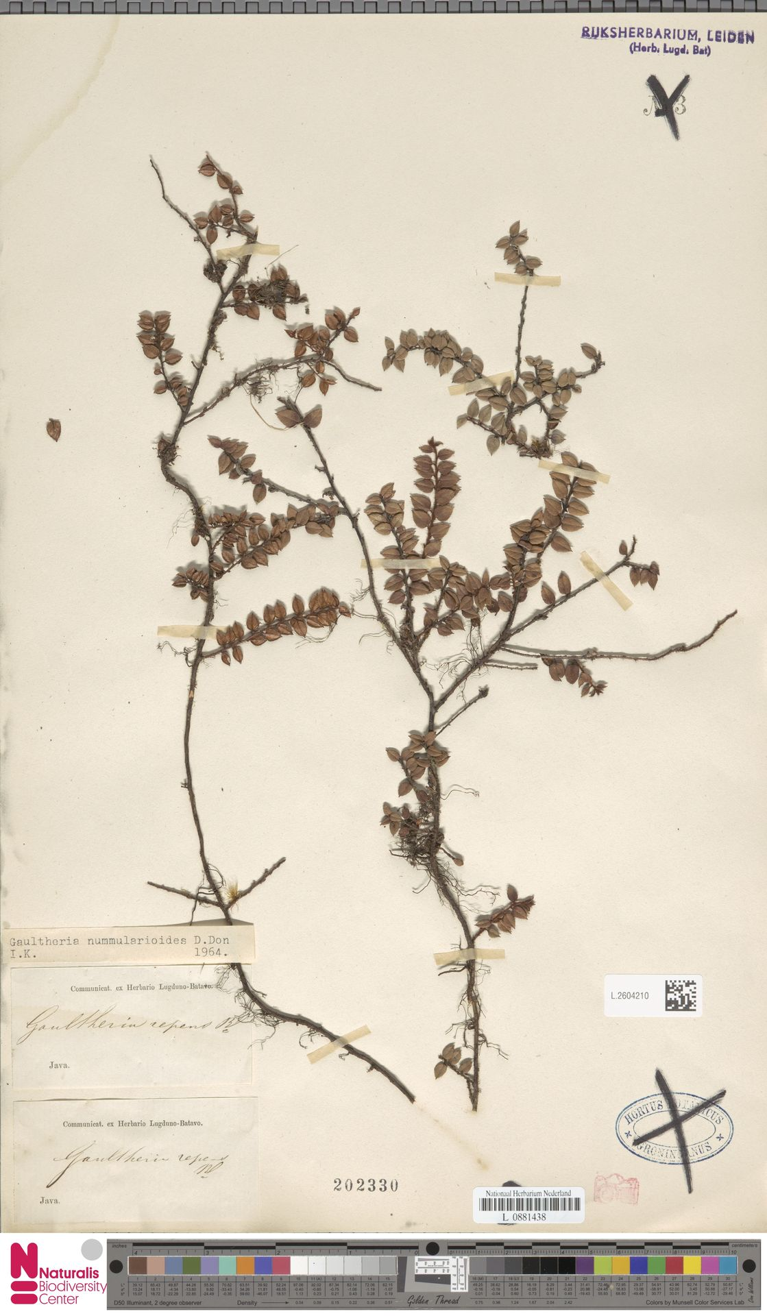 L.2604210 | Gaultheria nummularioides G.Don