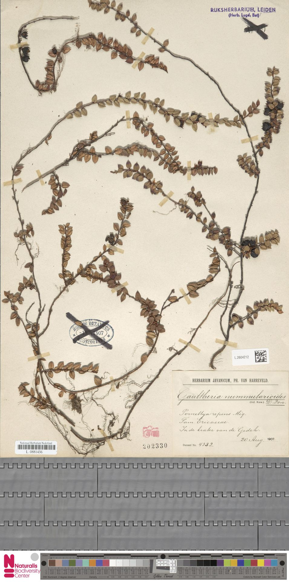L.2604212 | Gaultheria nummularioides G.Don