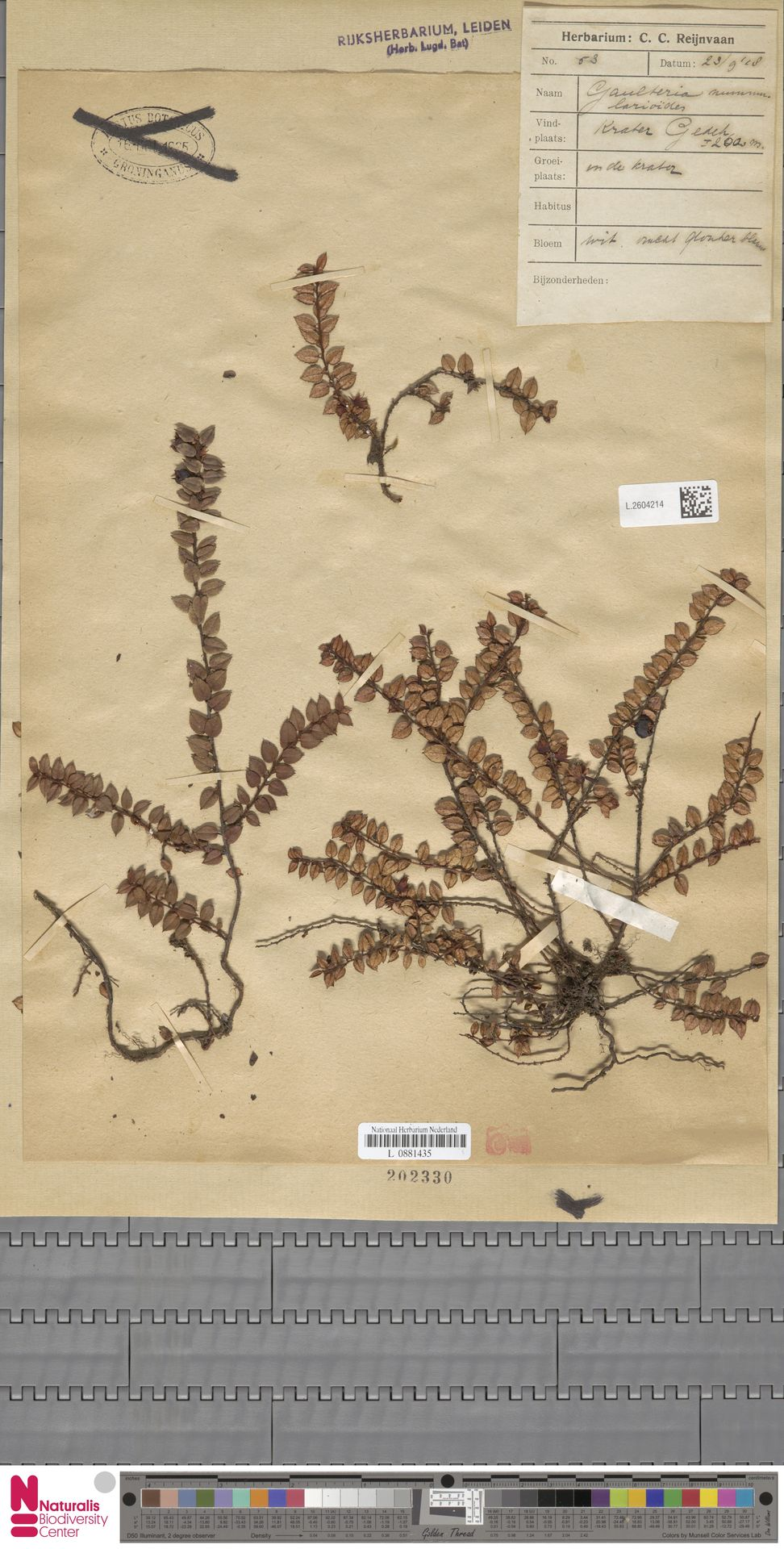 L.2604214 | Gaultheria nummularioides G.Don
