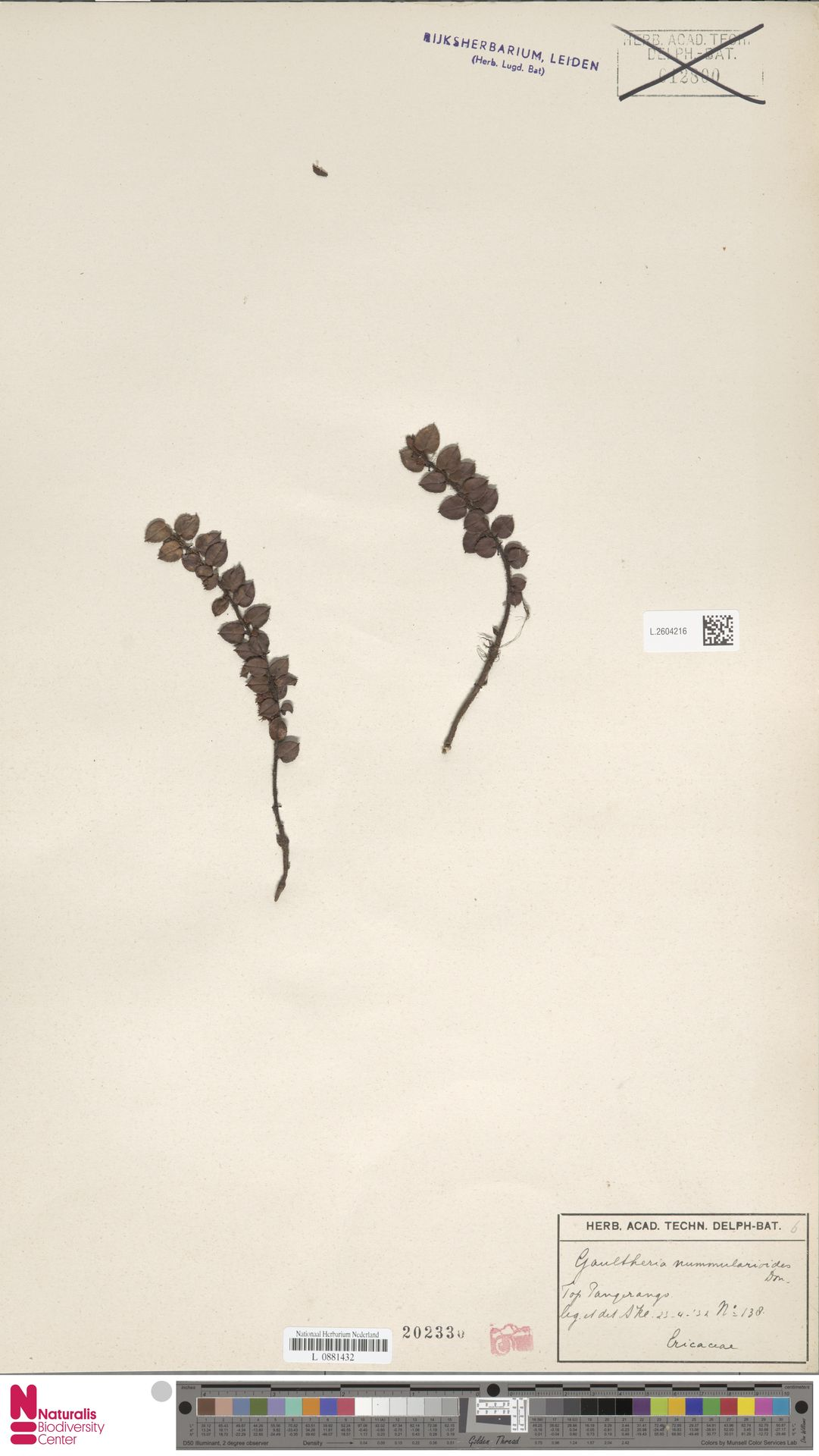 L.2604216 | Gaultheria nummularioides G.Don