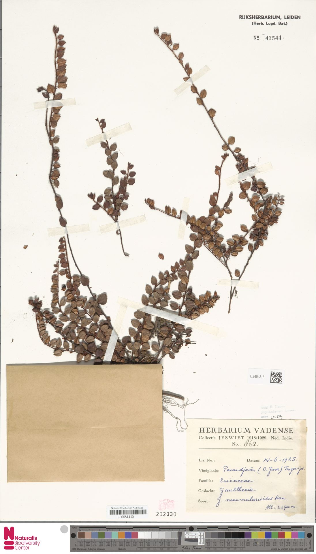L.2604218 | Gaultheria nummularioides G.Don