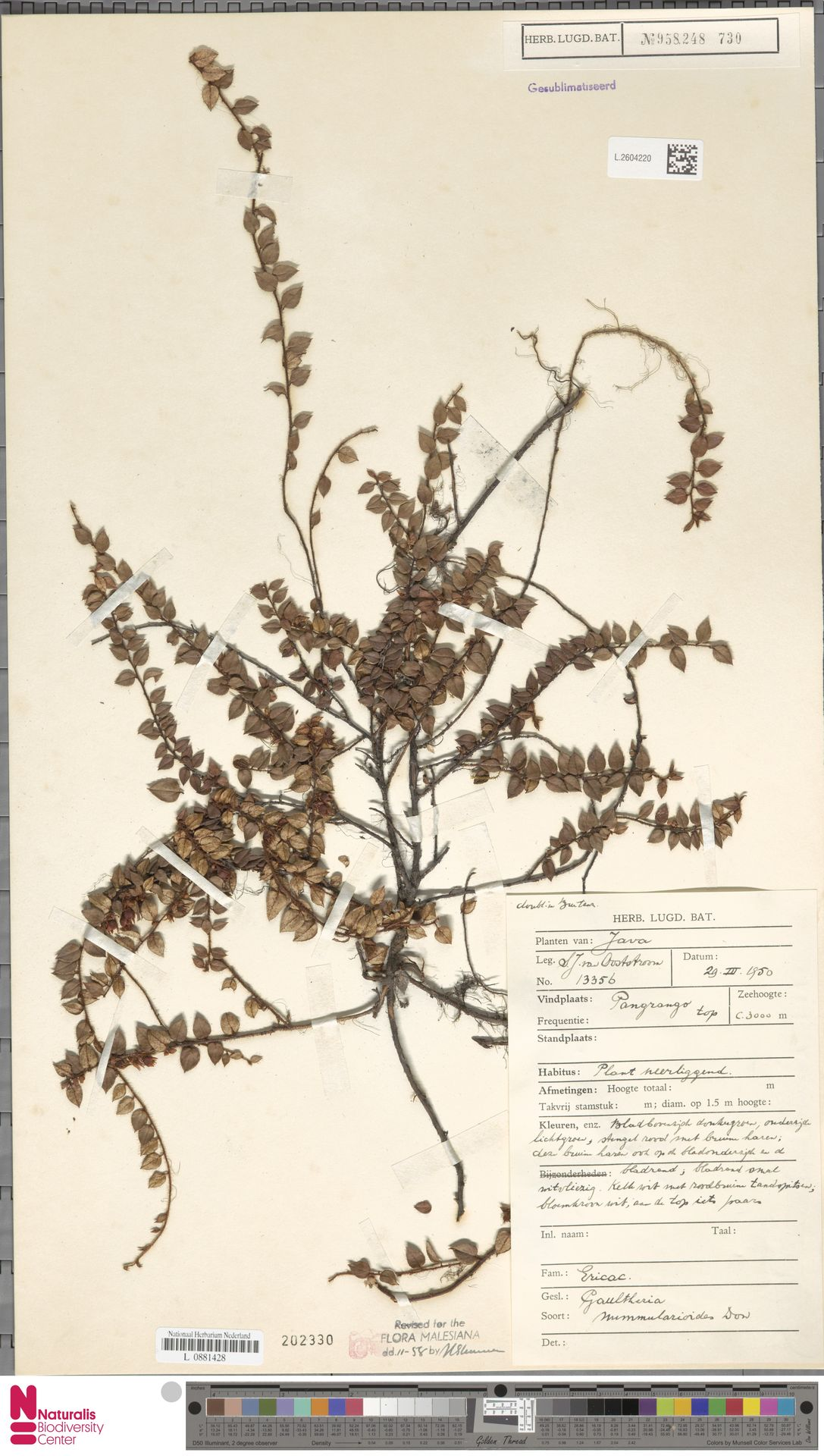 L.2604220 | Gaultheria nummularioides G.Don