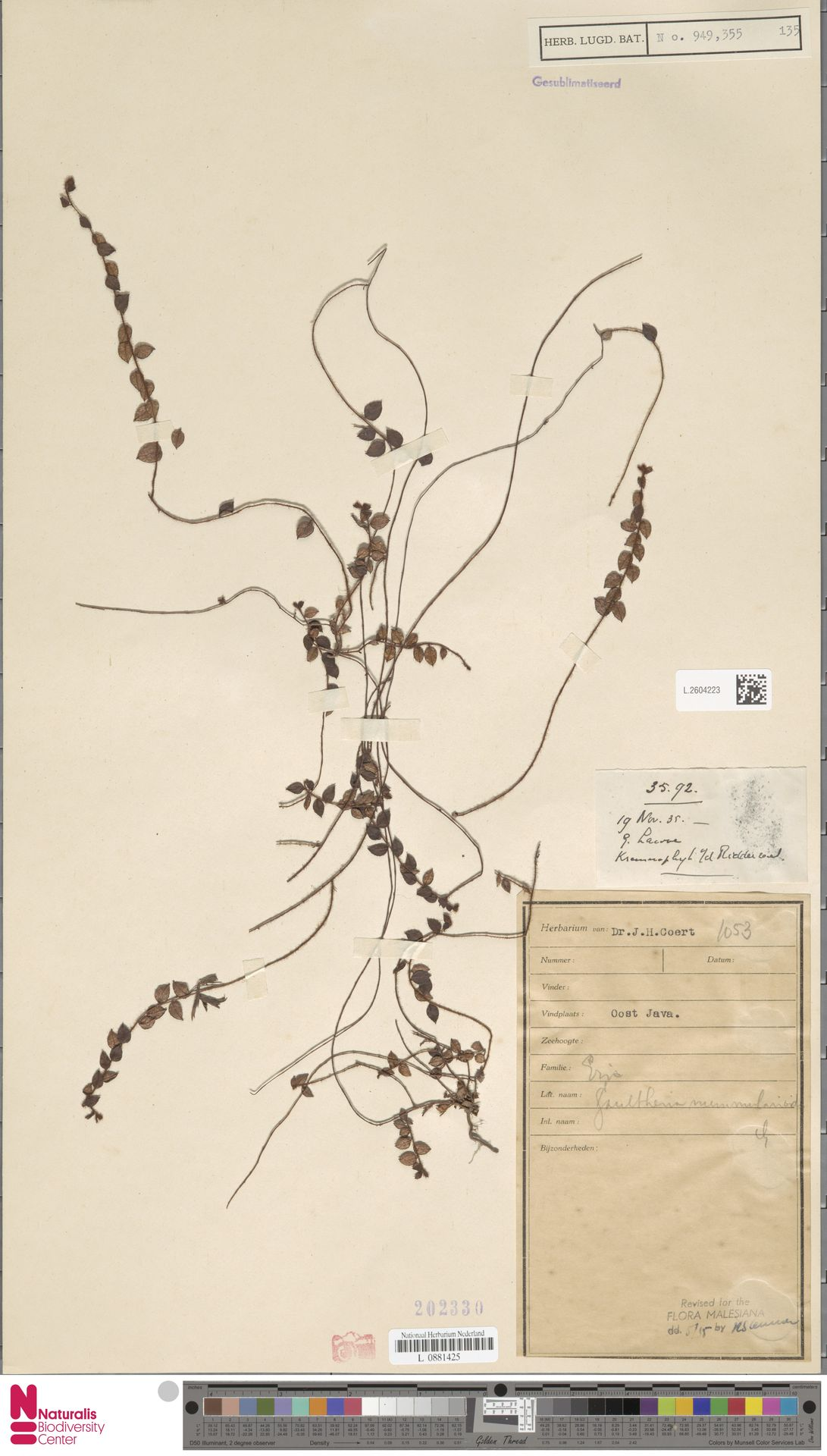 L.2604223   Gaultheria nummularioides G.Don