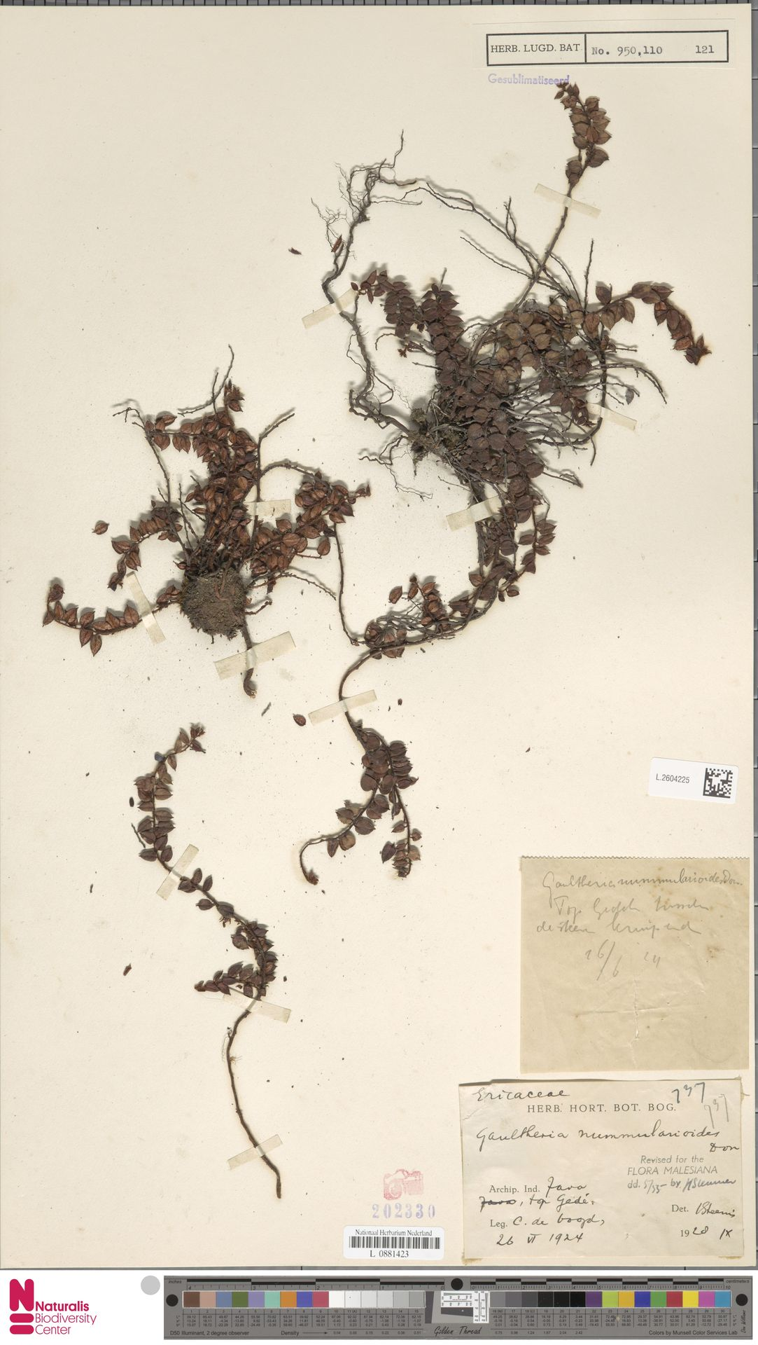 L.2604225 | Gaultheria nummularioides G.Don