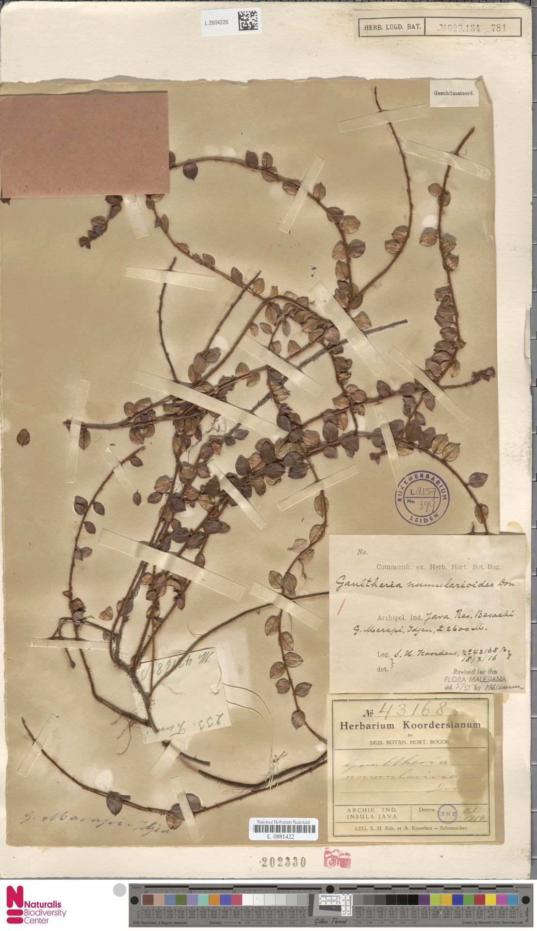 L.2604226 | Gaultheria nummularioides G.Don