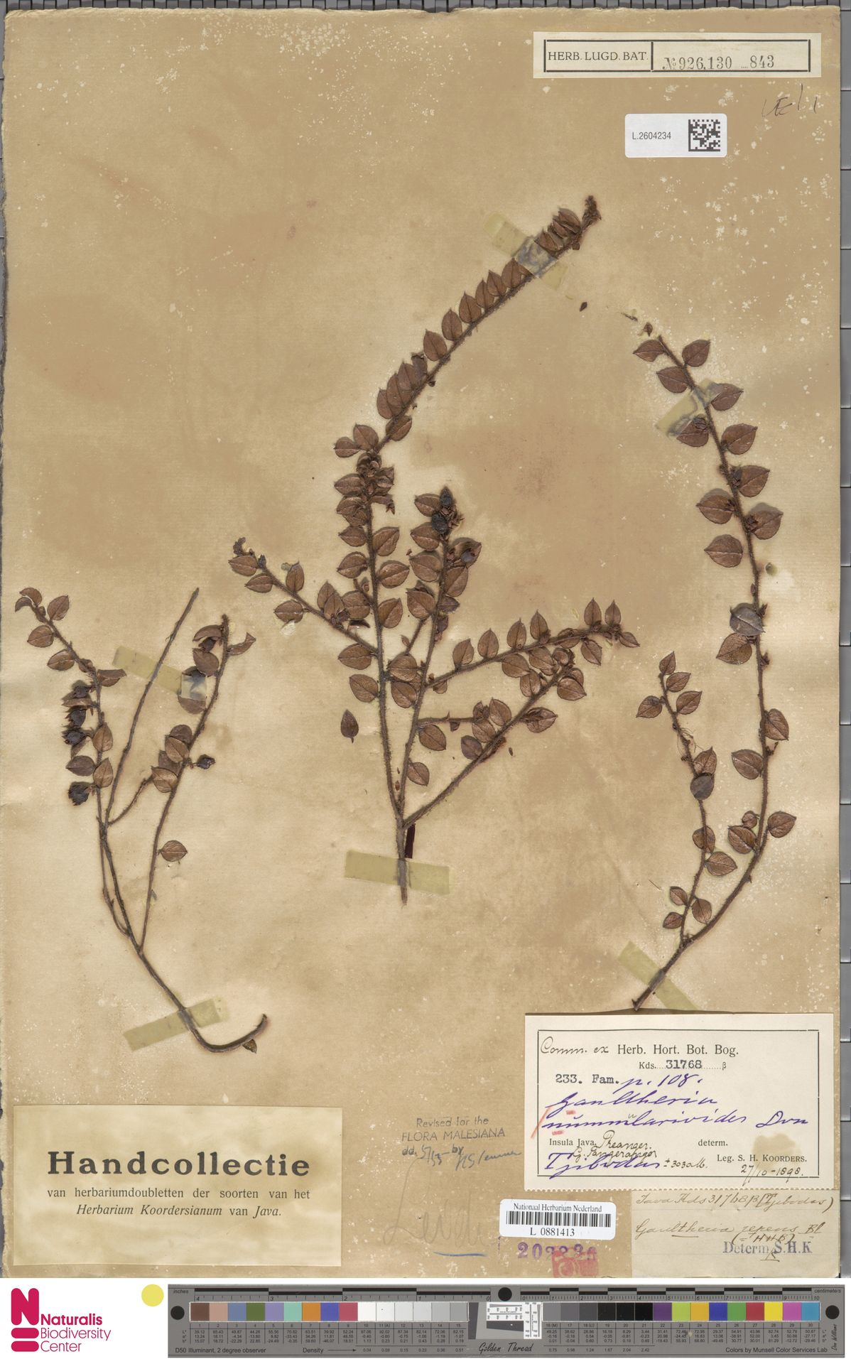 L.2604234 | Gaultheria nummularioides G.Don