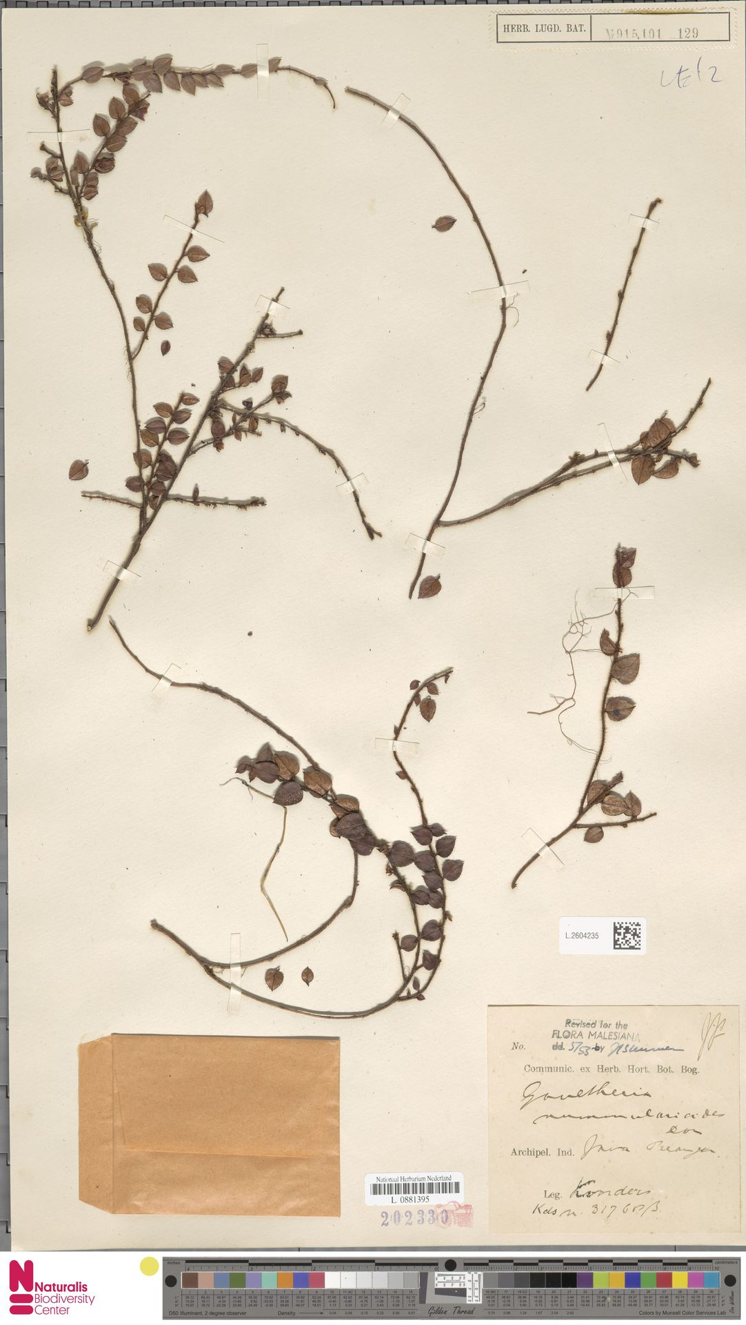 L.2604235 | Gaultheria nummularioides G.Don