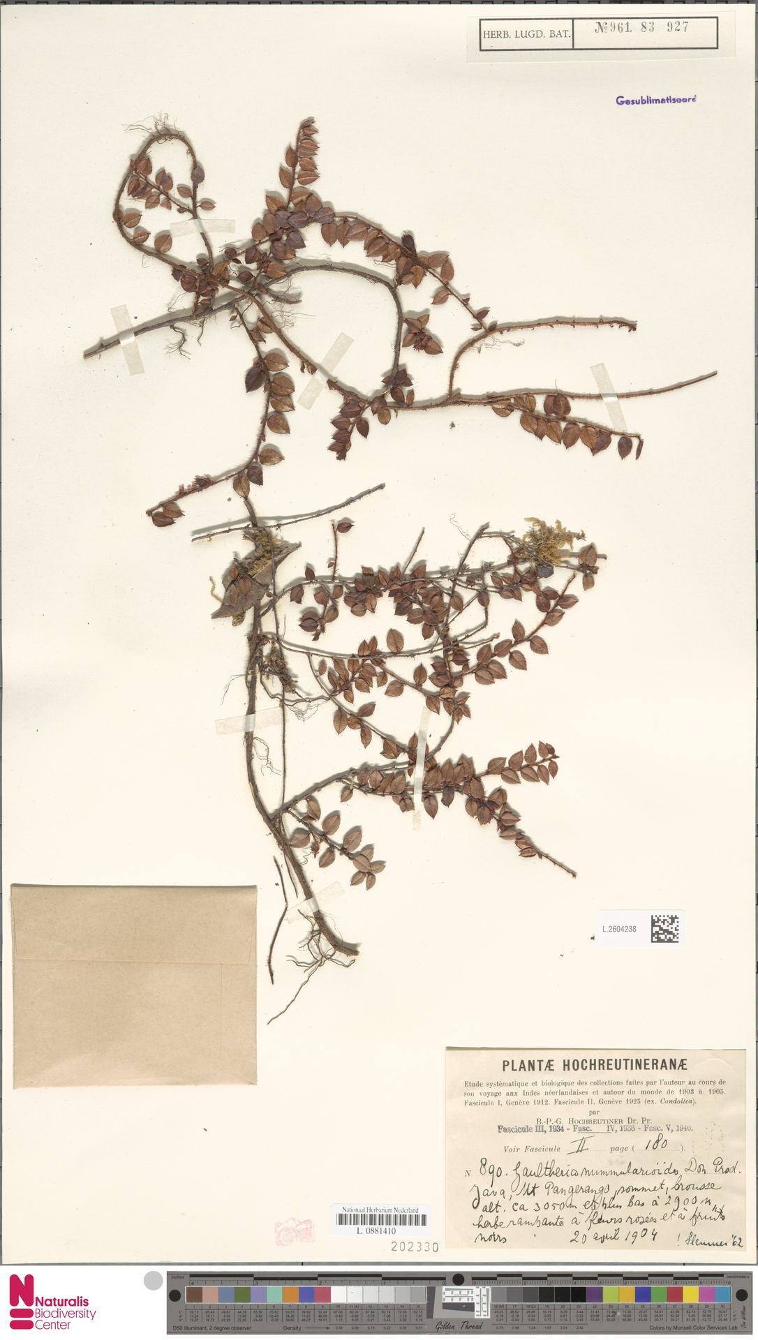 L.2604238   Gaultheria nummularioides G.Don