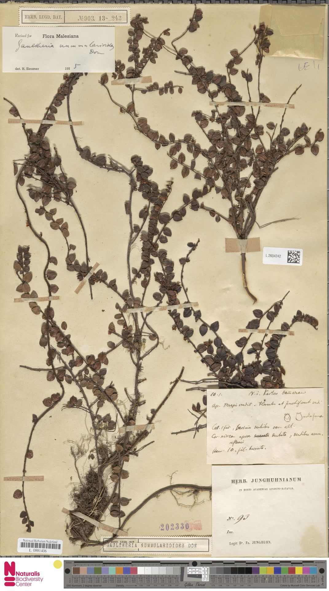 L.2604242 | Gaultheria nummularioides G.Don