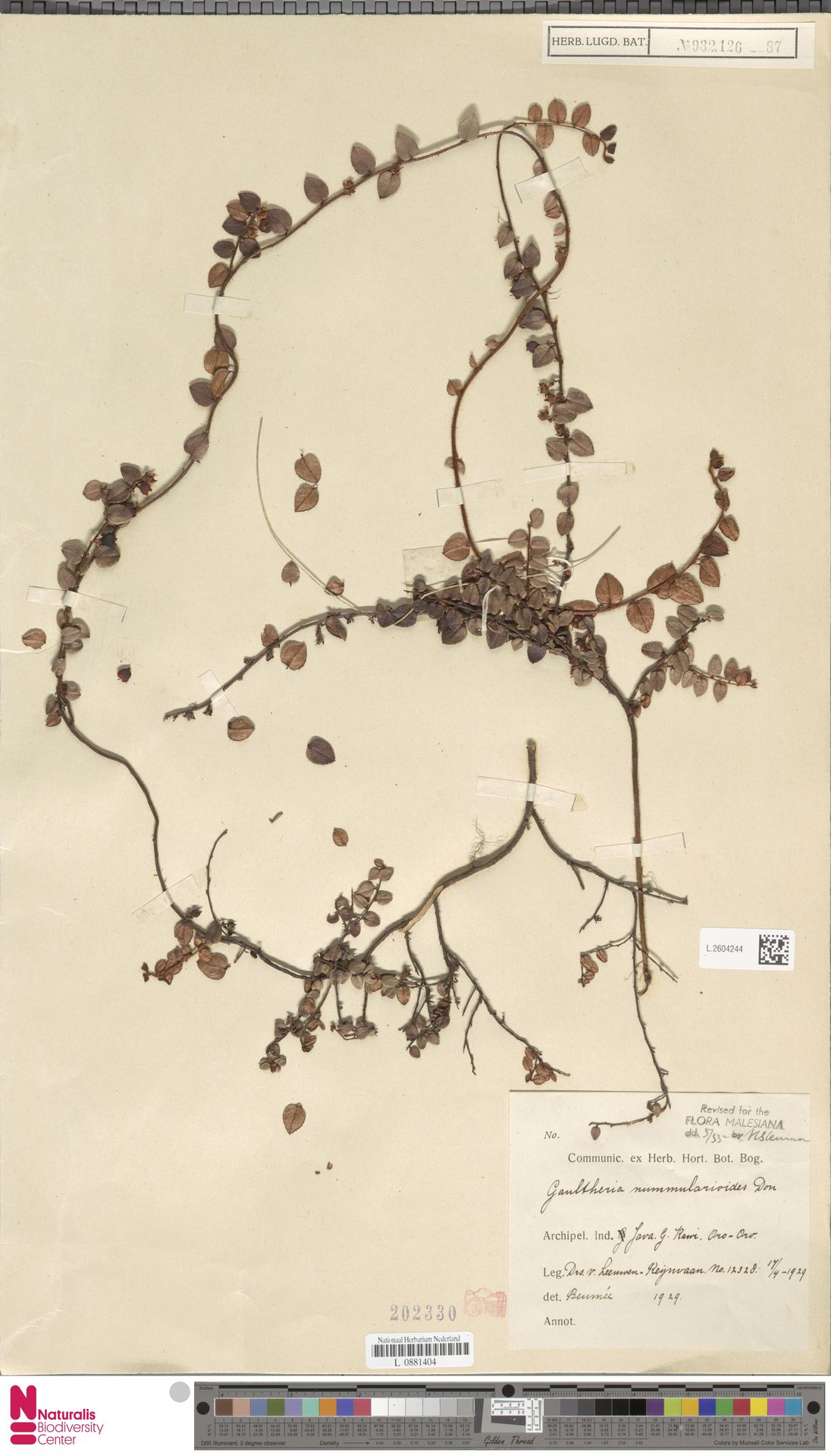 L.2604244 | Gaultheria nummularioides G.Don