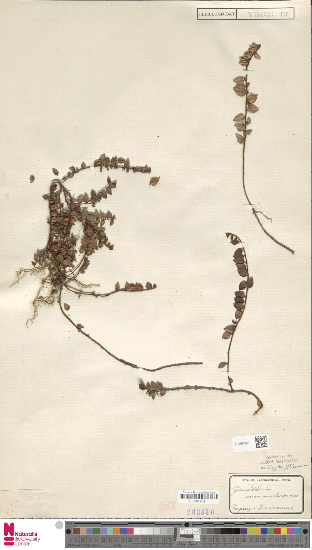 L.2604245 | Gaultheria nummularioides G.Don