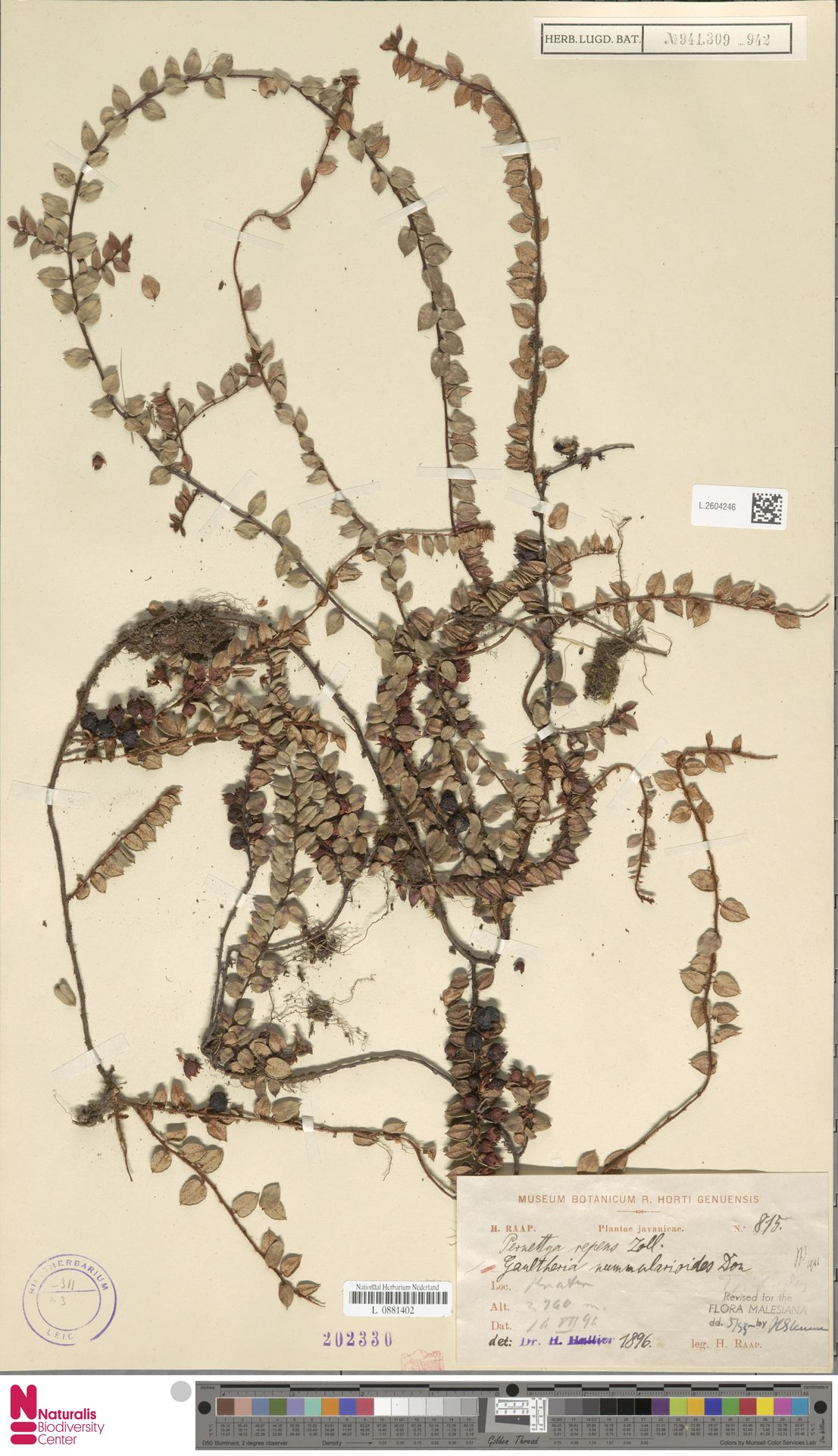 L.2604246 | Gaultheria nummularioides G.Don
