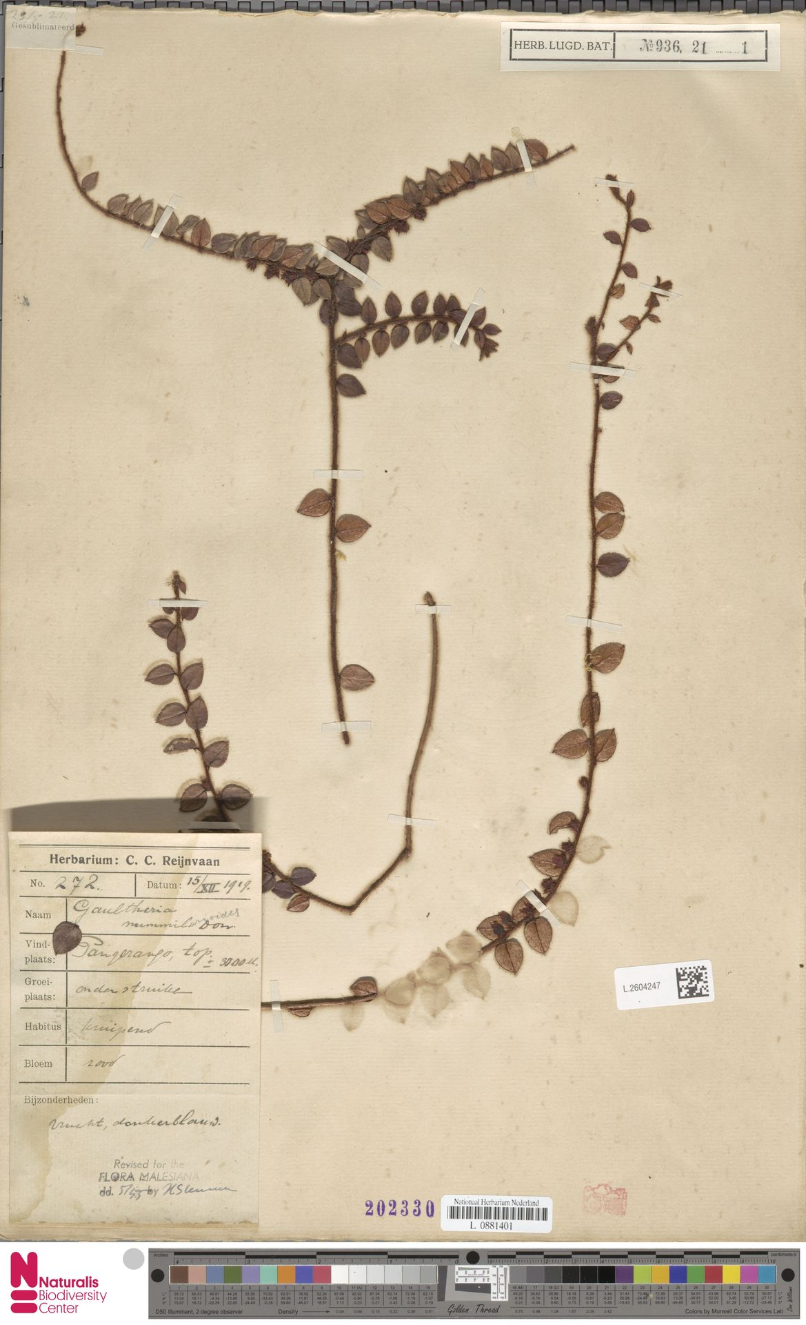 L.2604247 | Gaultheria nummularioides G.Don