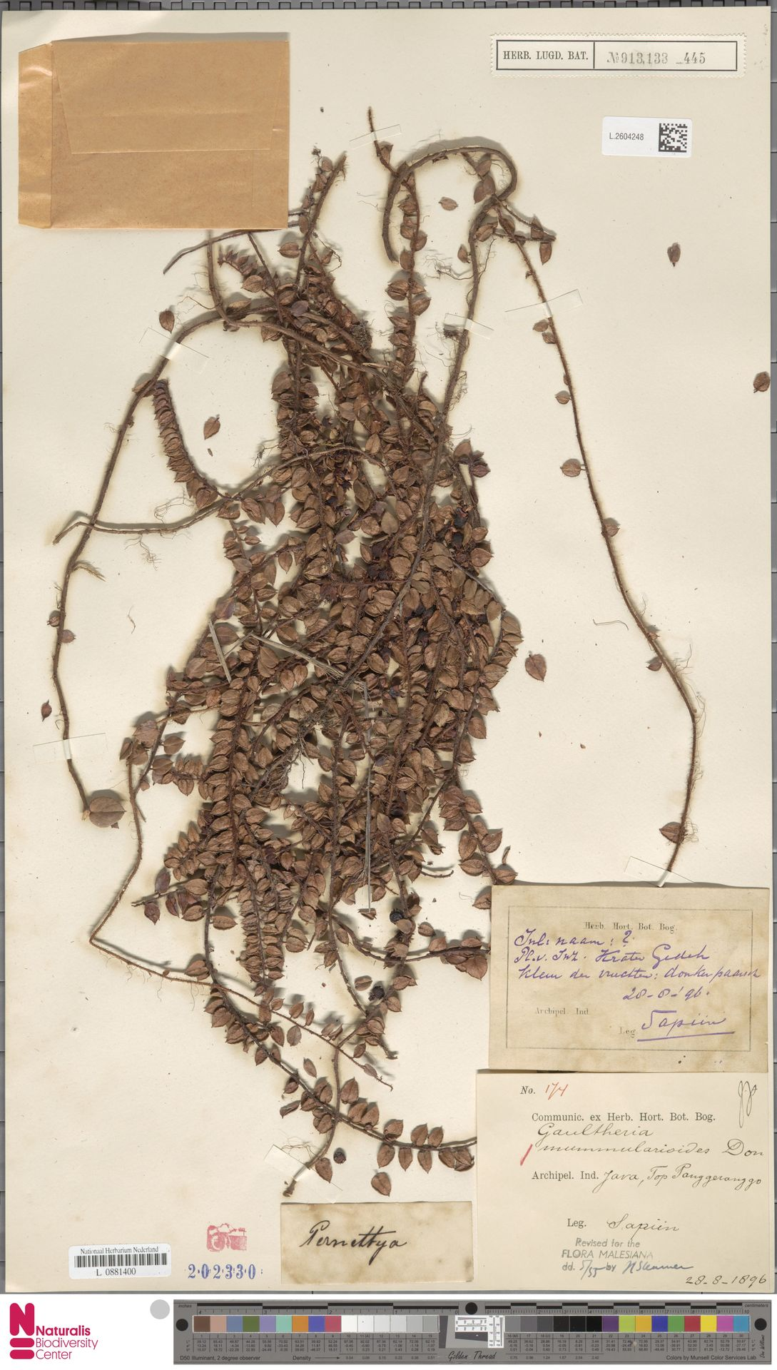 L.2604248 | Gaultheria nummularioides G.Don