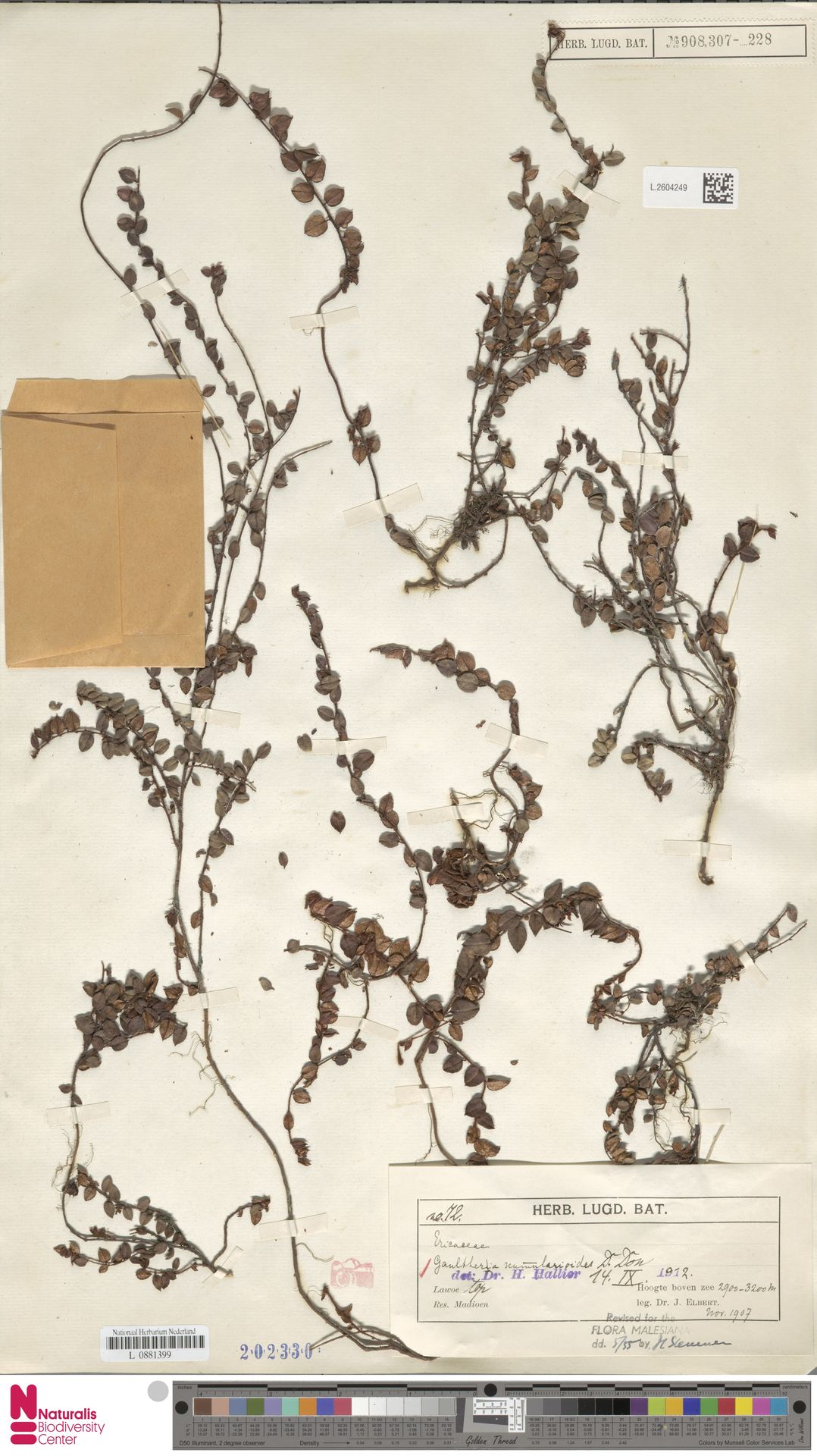 L.2604249 | Gaultheria nummularioides G.Don