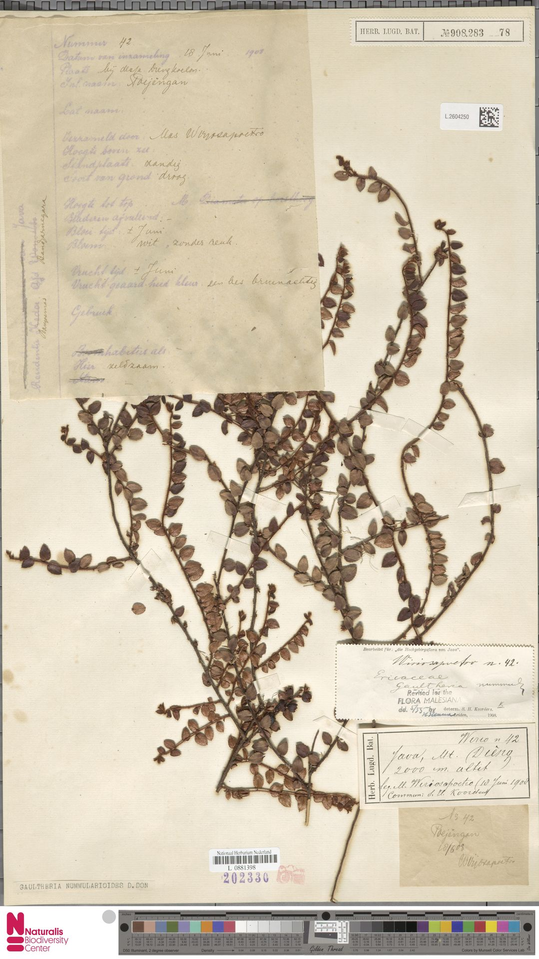 L.2604250 | Gaultheria nummularioides G.Don