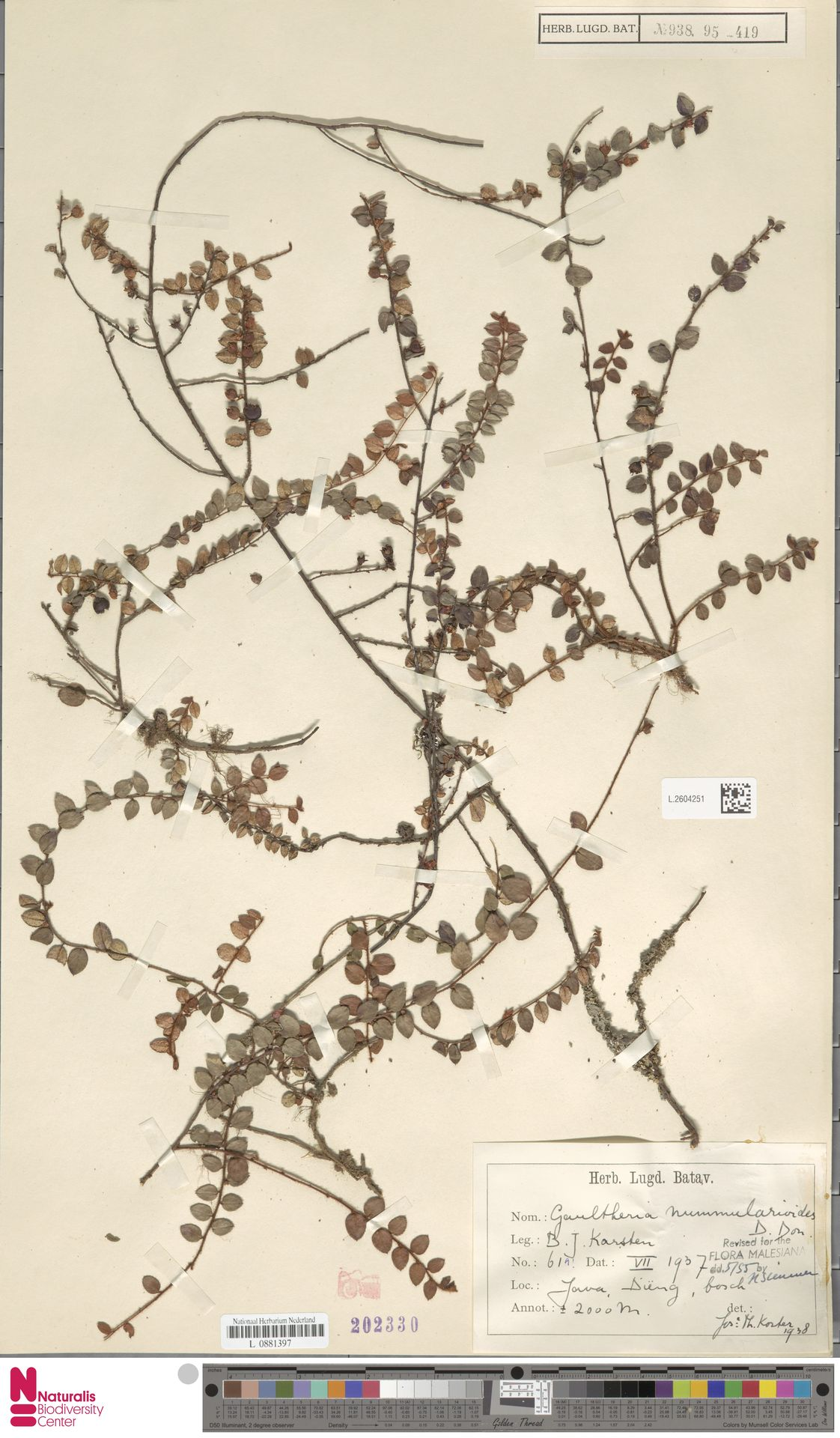 L.2604251 | Gaultheria nummularioides G.Don
