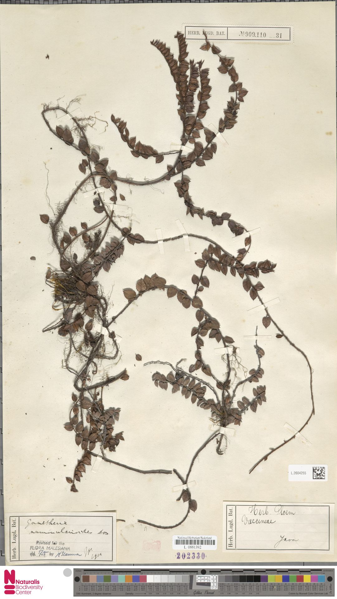 L.2604255 | Gaultheria nummularioides G.Don
