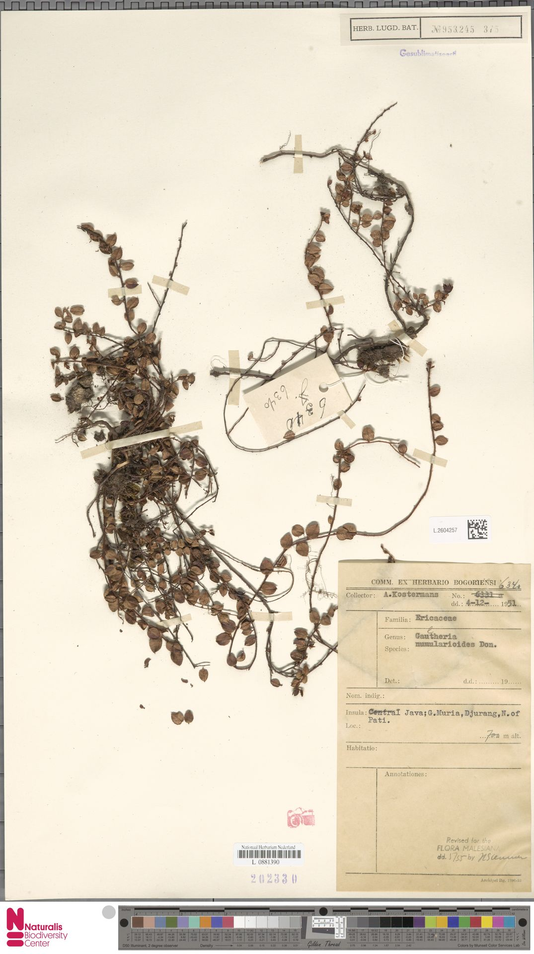 L.2604257 | Gaultheria nummularioides G.Don