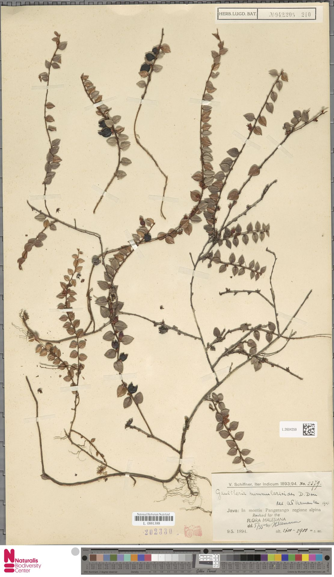 L.2604259 | Gaultheria nummularioides G.Don