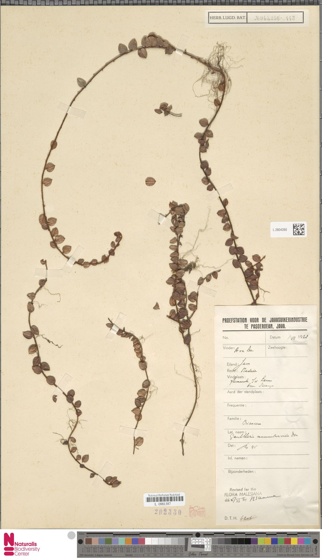 L.2604260 | Gaultheria nummularioides G.Don