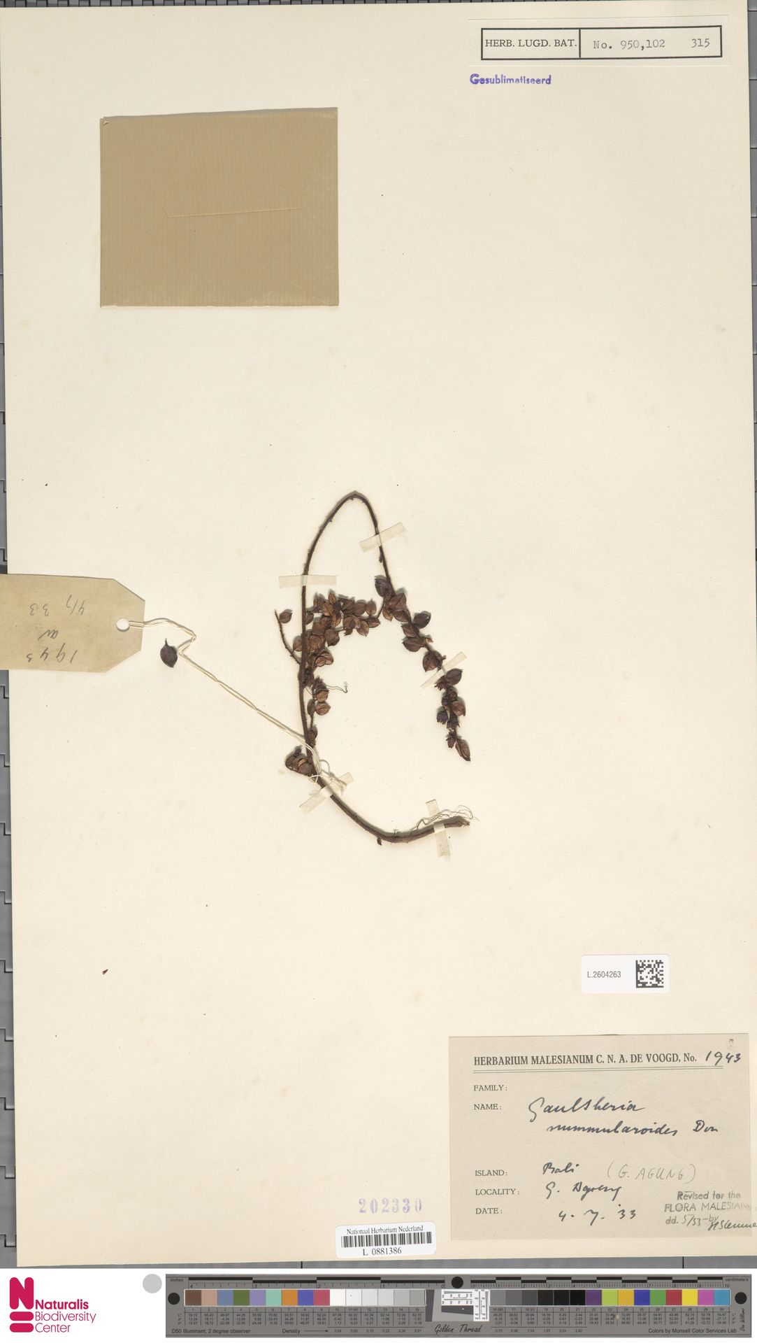L.2604263 | Gaultheria nummularioides G.Don