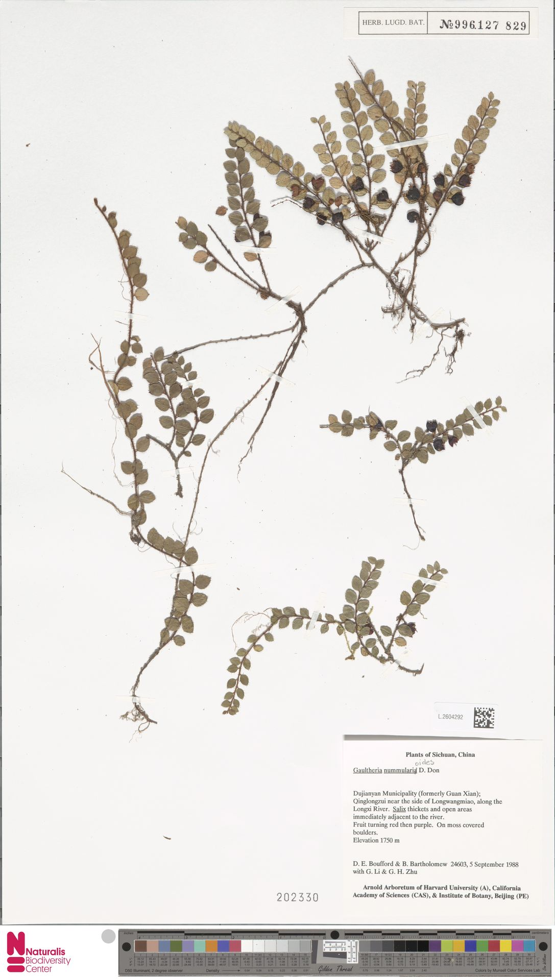 L.2604292 | Gaultheria nummularioides G.Don