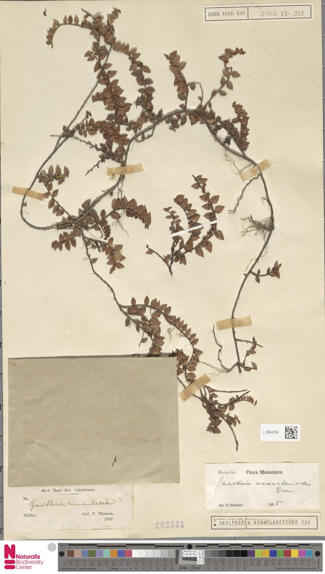 L.2604294 | Gaultheria nummularioides G.Don