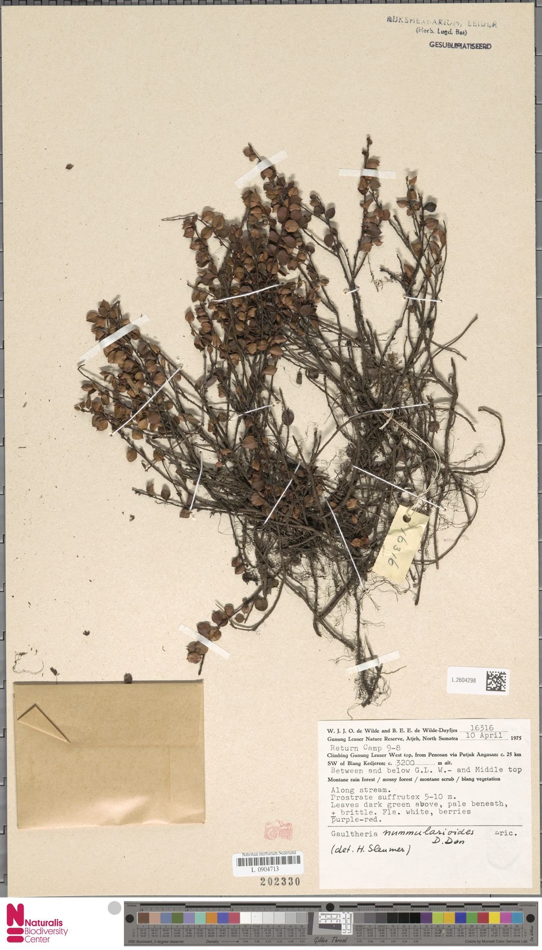 L.2604298 | Gaultheria nummularioides G.Don